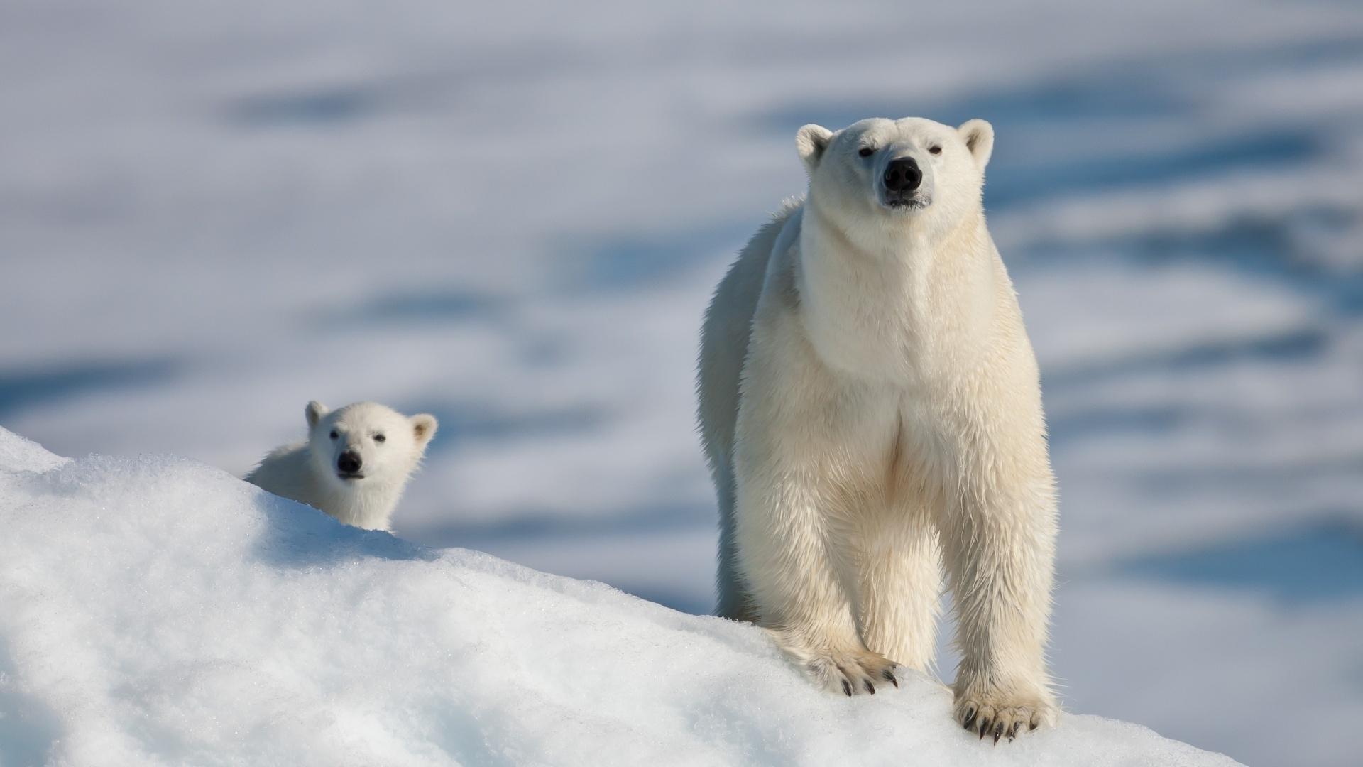 50265 Заставки и Обои Медведи на телефон. Скачать Медведи, Животные, Зима, Снег картинки бесплатно