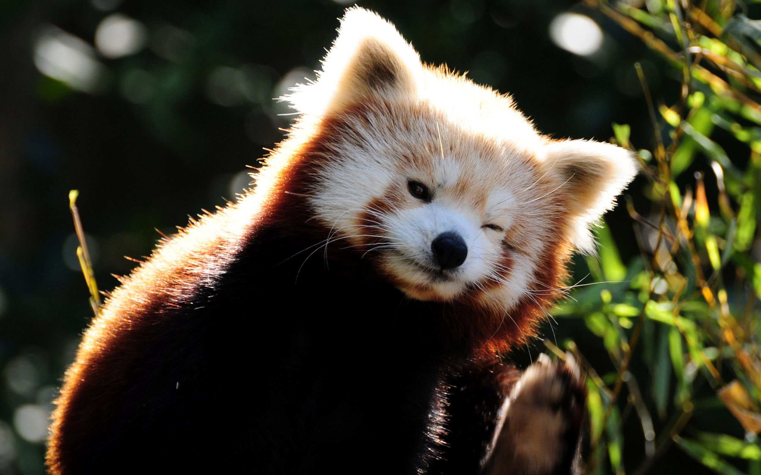 69346 download wallpaper Animals, Fox, Fiery, Fire, Small, Petite, Panda screensavers and pictures for free