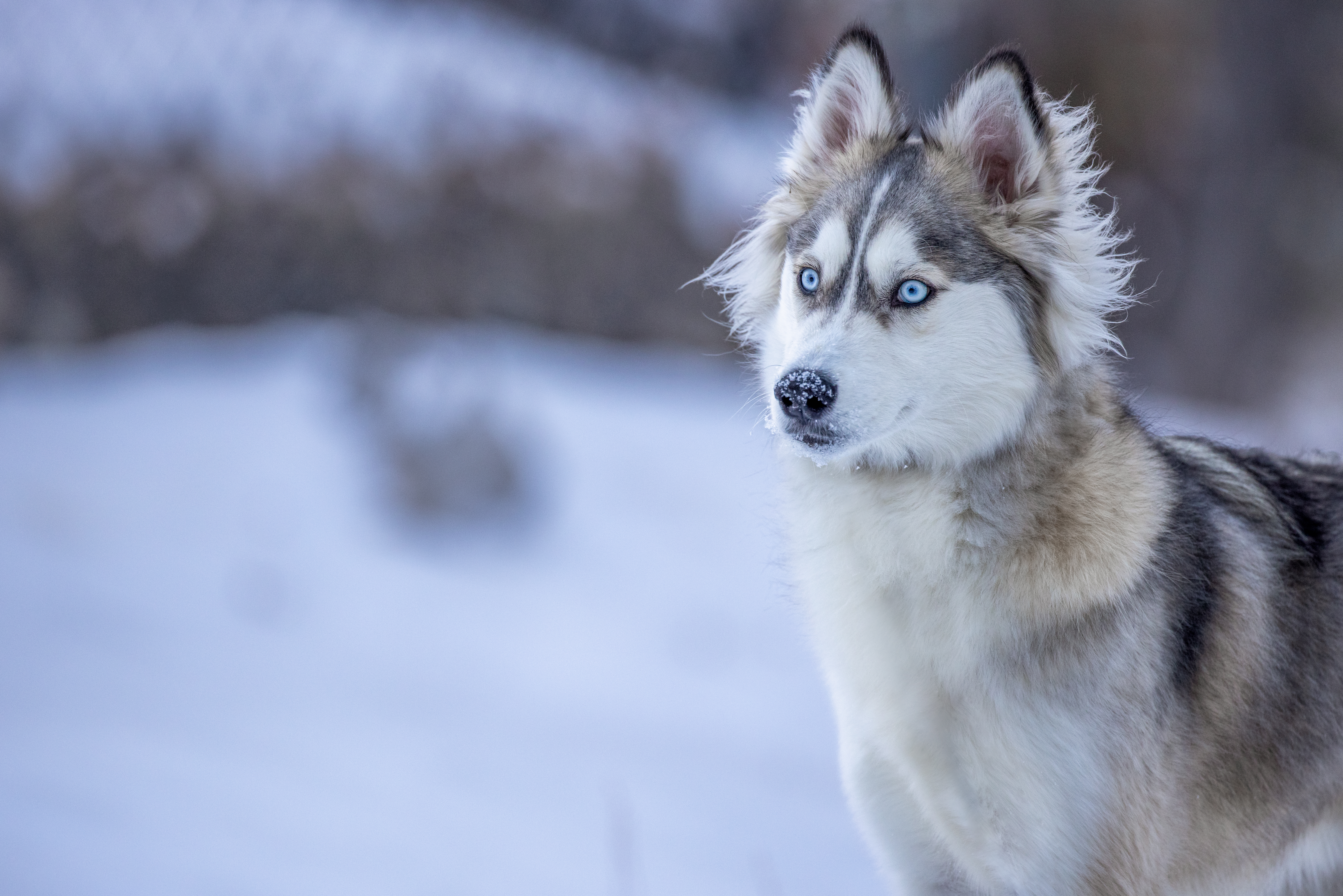 123388 Screensavers and Wallpapers Husky for phone. Download Animals, Winter, Snow, Dog, Sight, Opinion, Husky pictures for free