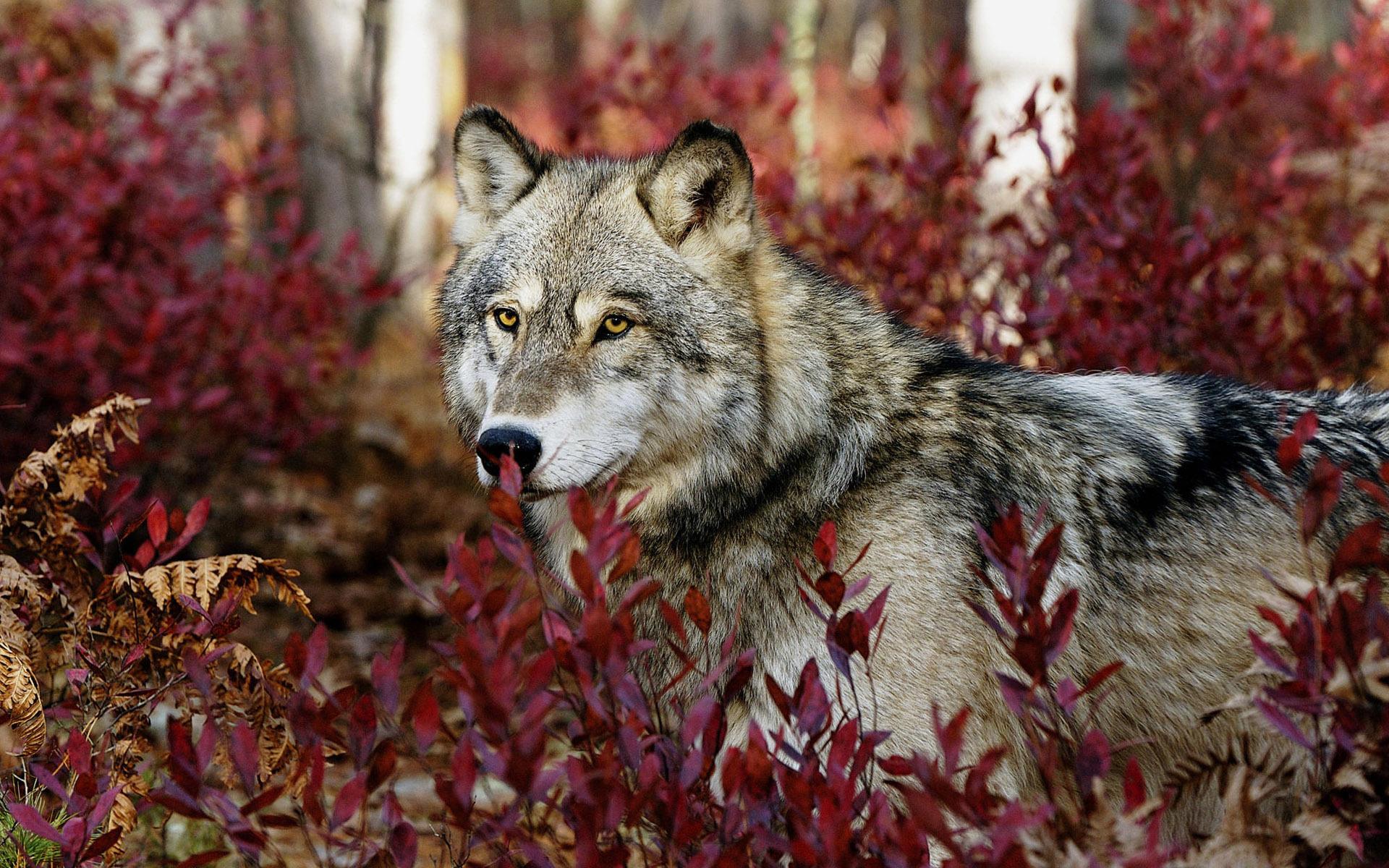 39732 Hintergrundbild herunterladen Tiere, Wölfe - Bildschirmschoner und Bilder kostenlos