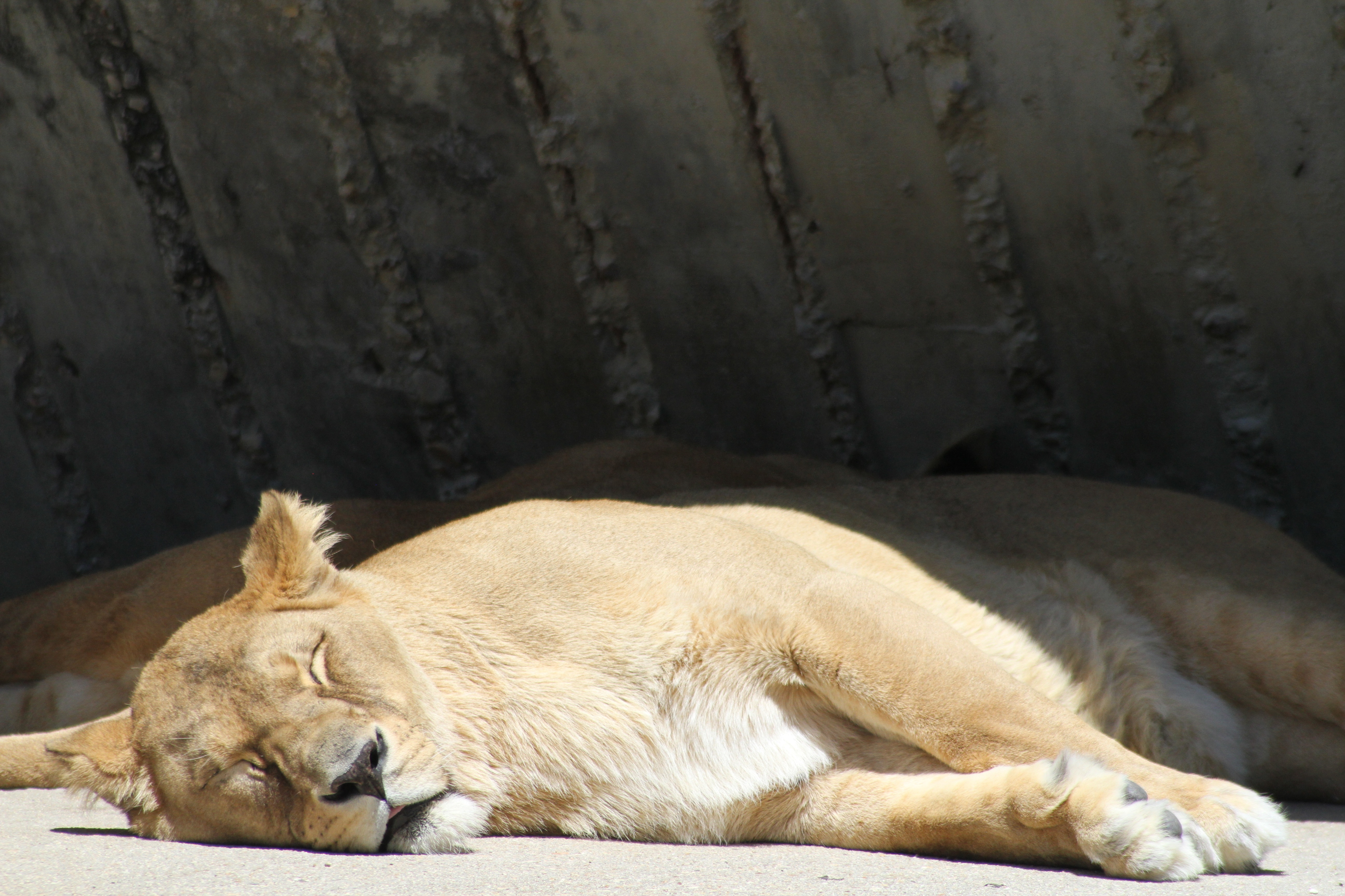 88865 download wallpaper Animals, Lion, Lioness, Predator, Sleep, Dream screensavers and pictures for free
