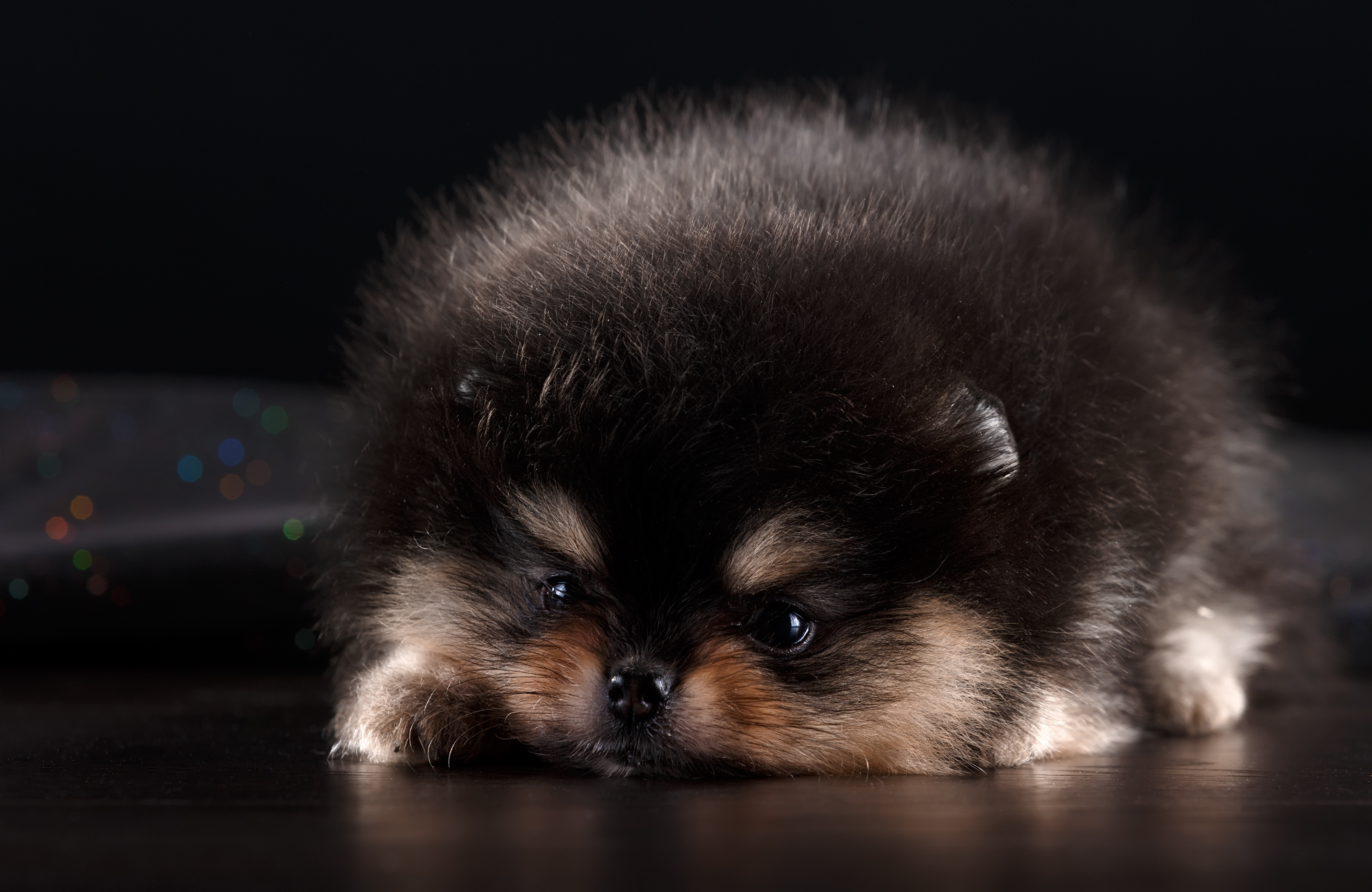 151703 download wallpaper Animals, Spitz, Puppy, Dog, Fluffy, Nice, Sweetheart screensavers and pictures for free