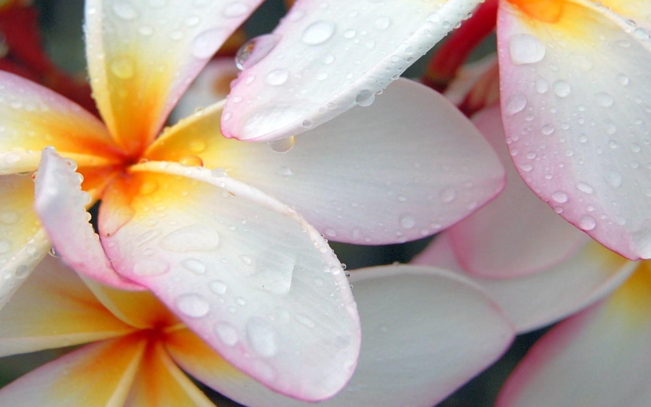25671 download wallpaper Plants, Flowers, Drops screensavers and pictures for free