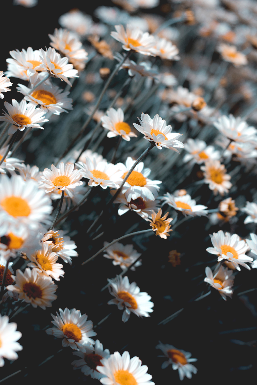 90489 Заставки и Обои Ромашки на телефон. Скачать Цветы, Ромашки, Белый, Цветение, Растение картинки бесплатно