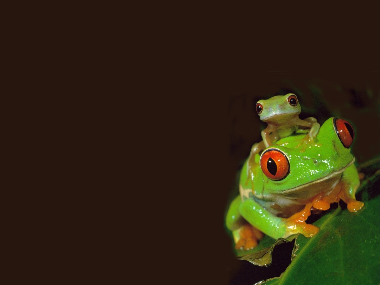40266 download wallpaper Animals, Frogs screensavers and pictures for free