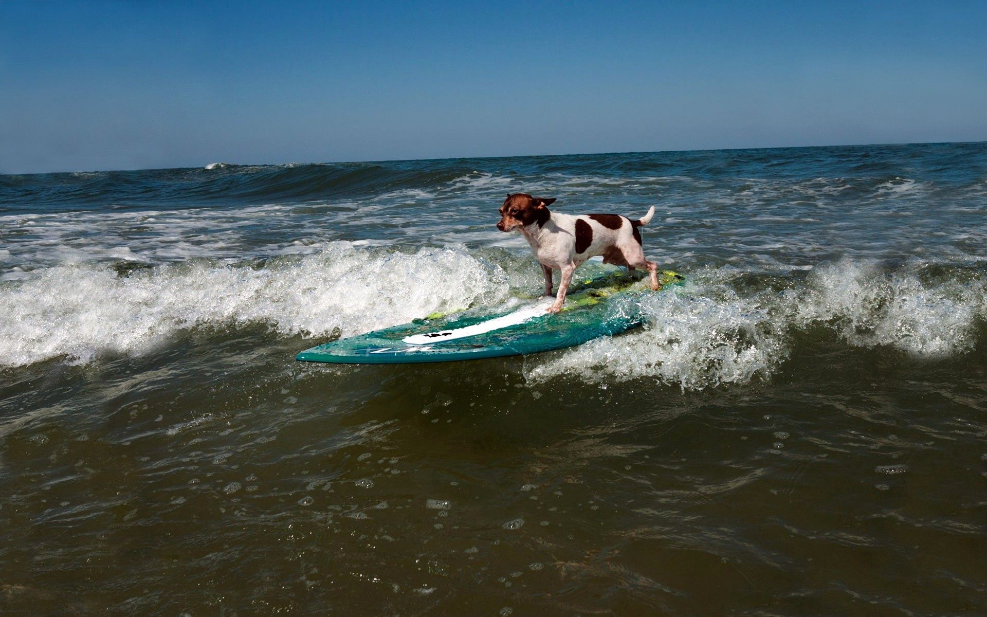 131253 download wallpaper Animals, Dog, Serfing, Sports, Waves screensavers and pictures for free