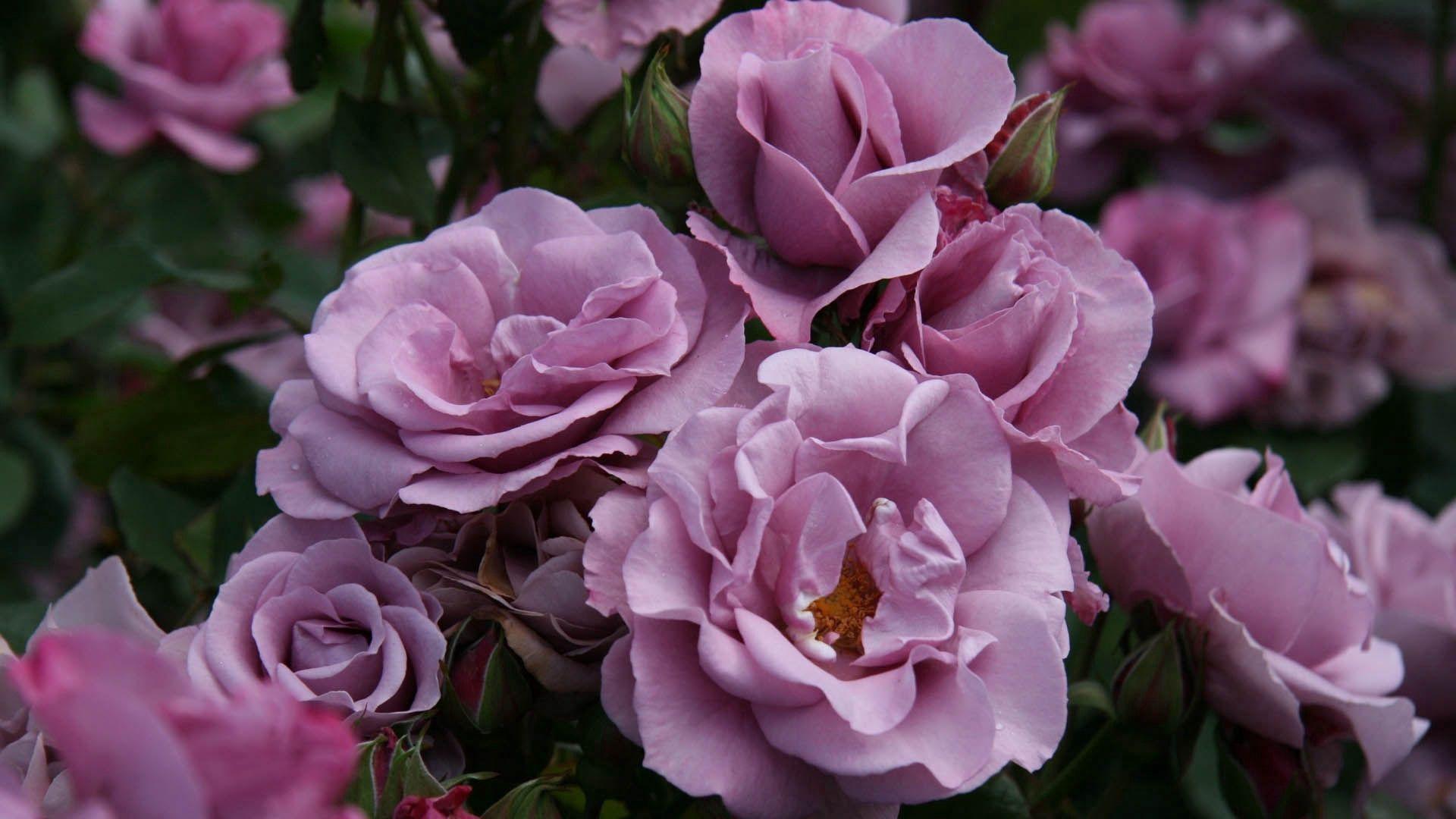 66419 descargar fondo de pantalla Flores, Rosa, Flor Rosa, Pétalos, Salvaje: protectores de pantalla e imágenes gratis