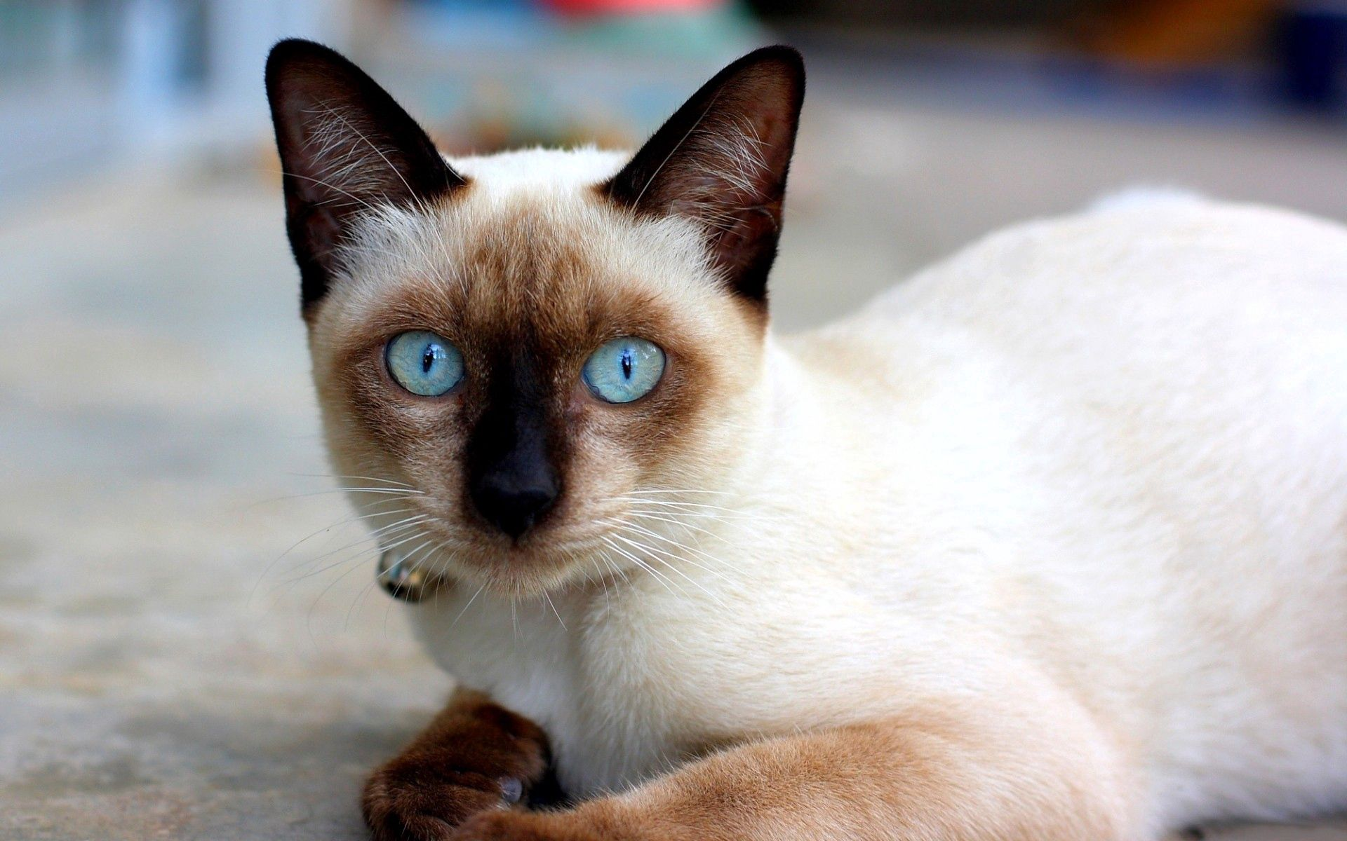83455 download wallpaper Animals, Cat, Blue Eyed, Blue-Eyed, Siamese, To Lie Down, Lie screensavers and pictures for free