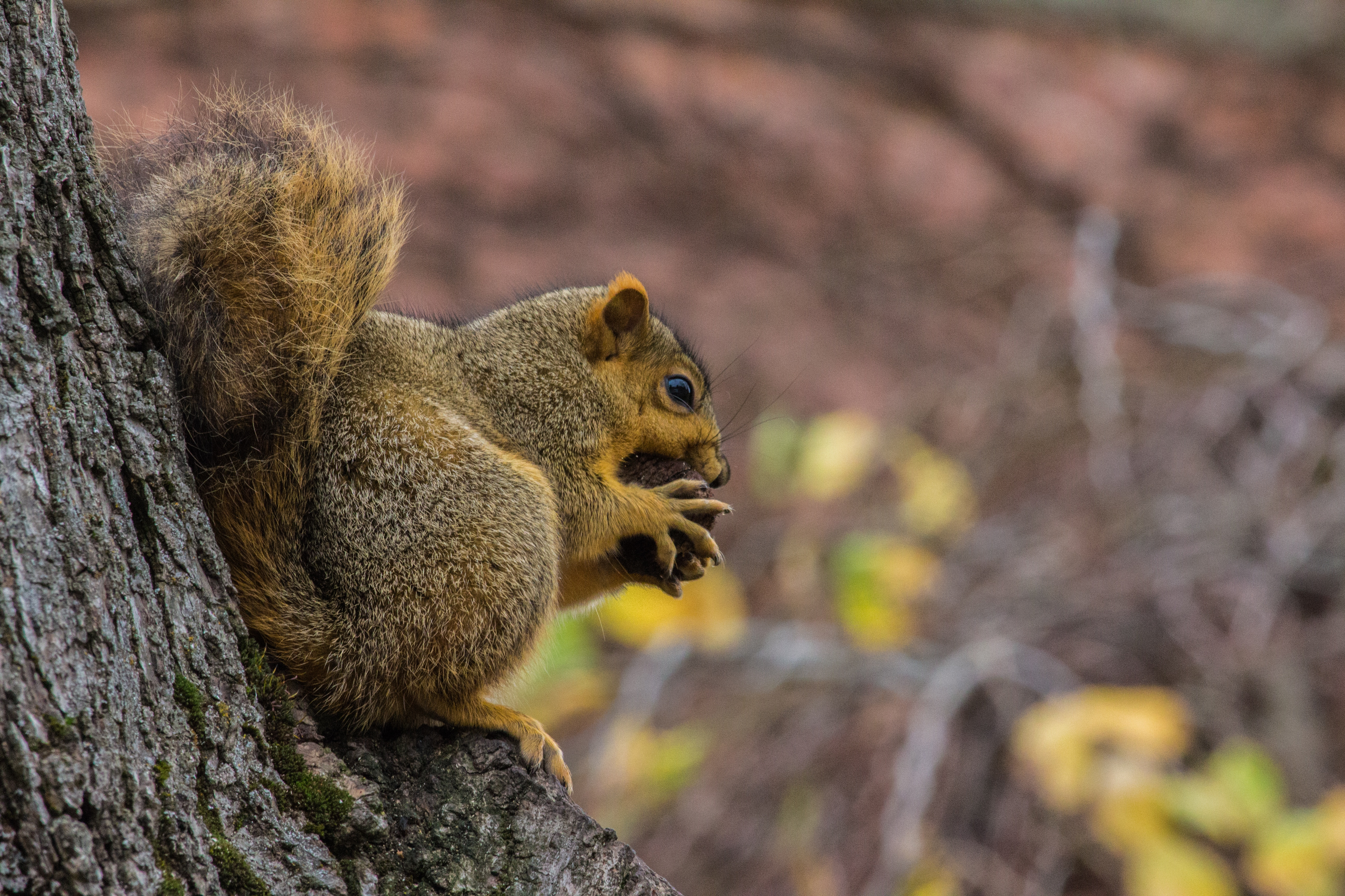81877 Screensavers and Wallpapers Squirrel for phone. Download Animals, Squirrel, Food, Fluffy, Nut, Nutlet pictures for free