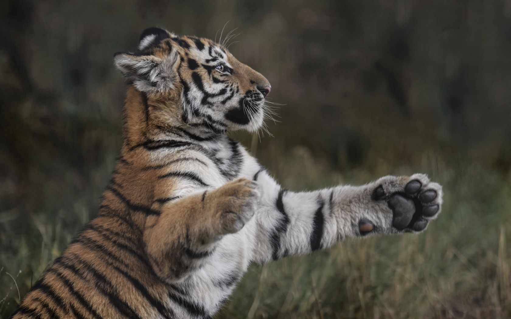 94229 download wallpaper Animals, Tiger, Paws, Grass, Young, Joey, Playful screensavers and pictures for free