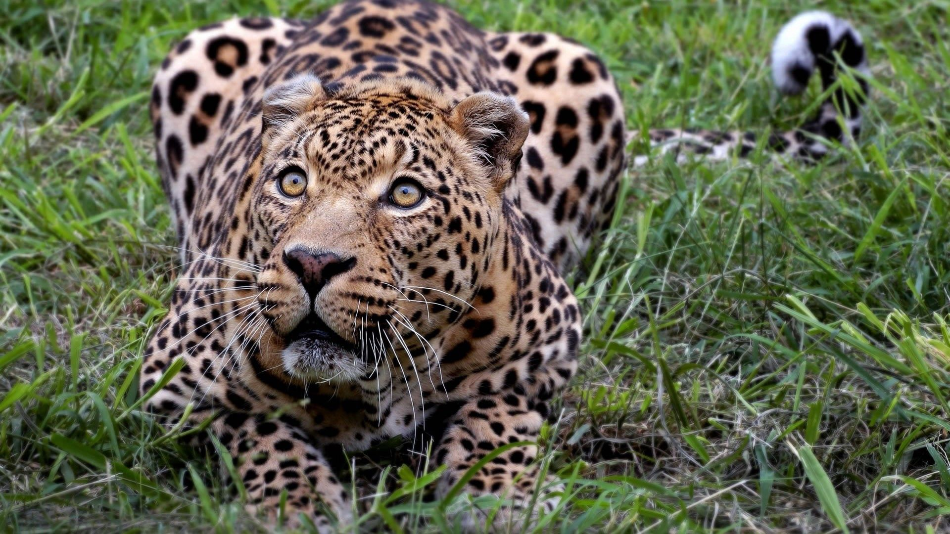 92953 download wallpaper Animals, Leopard, Grass, Fear, Misgiving, Squat, Cower, Hunting, Hunt screensavers and pictures for free