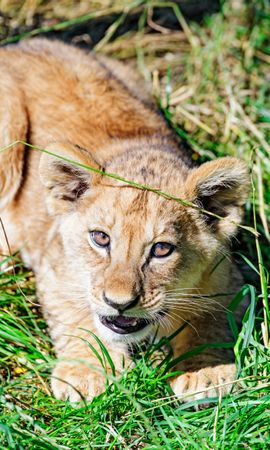 74487 Screensavers and Wallpapers Funny for phone. Download Animals, Lion, Young, Joey, Sight, Opinion, Funny, Grass pictures for free