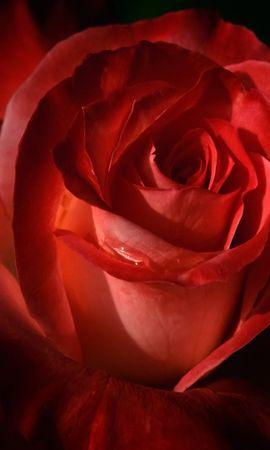 41557 descargar fondo de pantalla Plantas, Flores, Roses: protectores de pantalla e imágenes gratis
