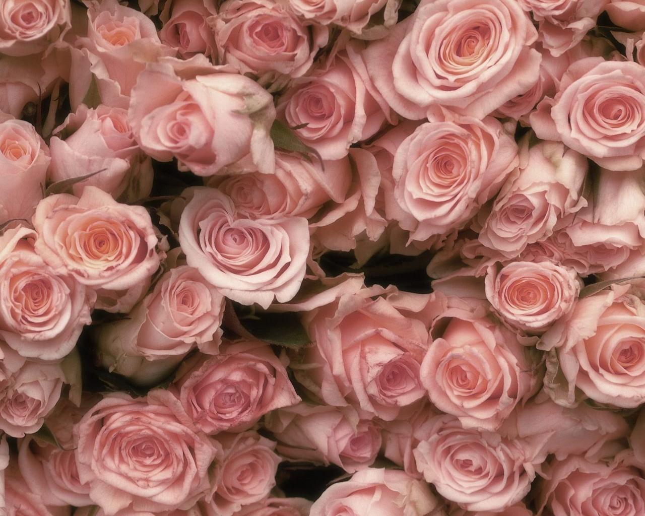 11225 Hintergrundbild herunterladen Roses, Pflanzen, Blumen, Hintergrund - Bildschirmschoner und Bilder kostenlos