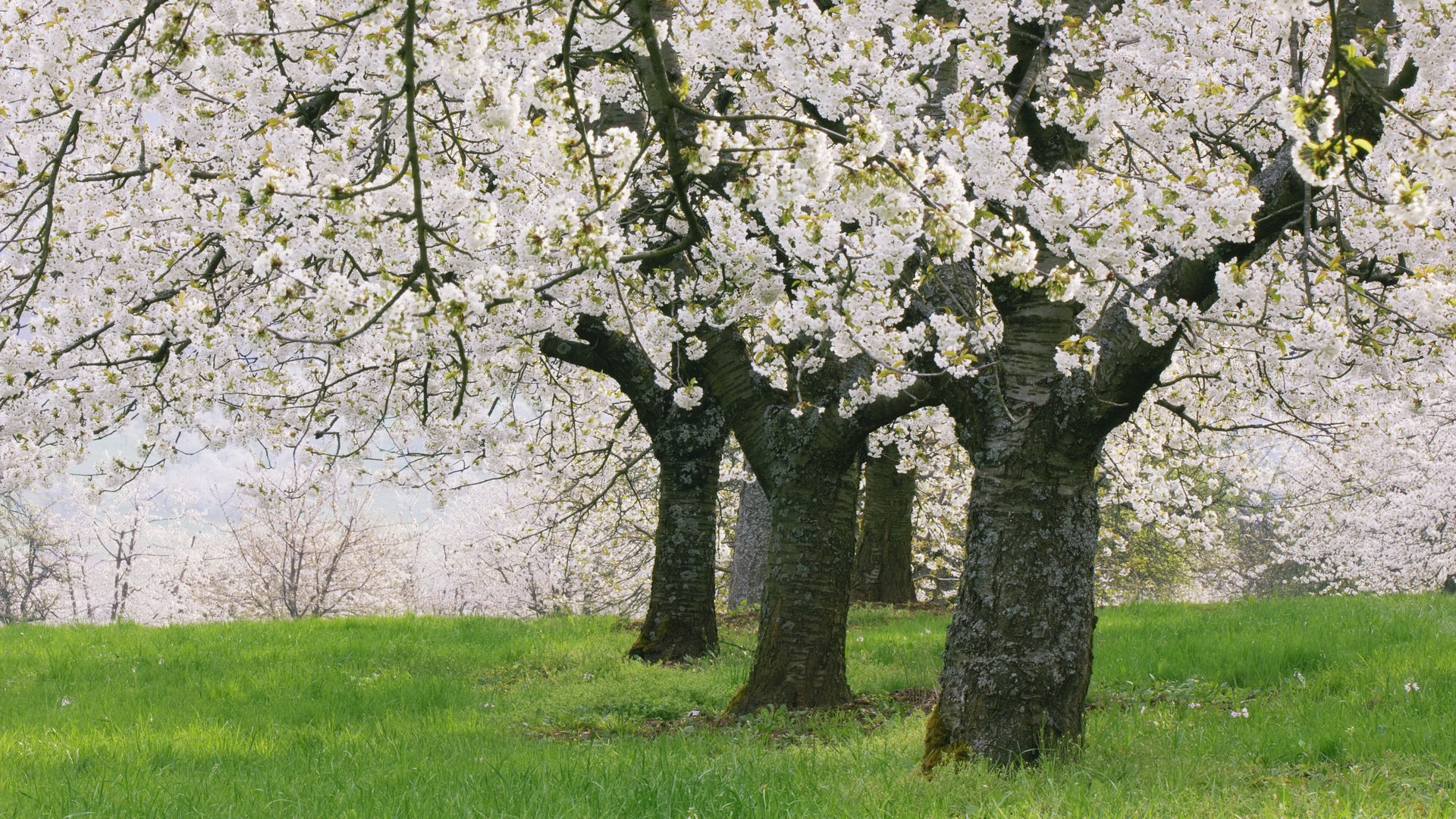 Handy-Wallpaper Landschaft, Blumen, Bäume kostenlos herunterladen.