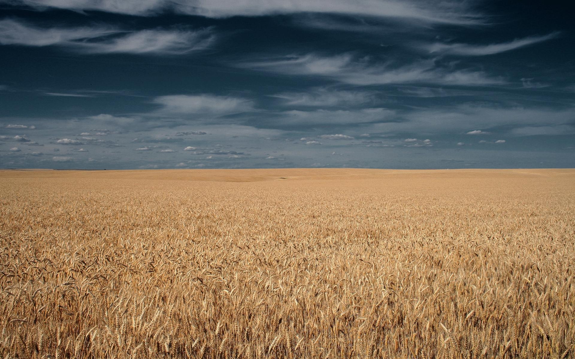 37489 скачать обои Пейзаж, Поля, Пшеница - заставки и картинки бесплатно