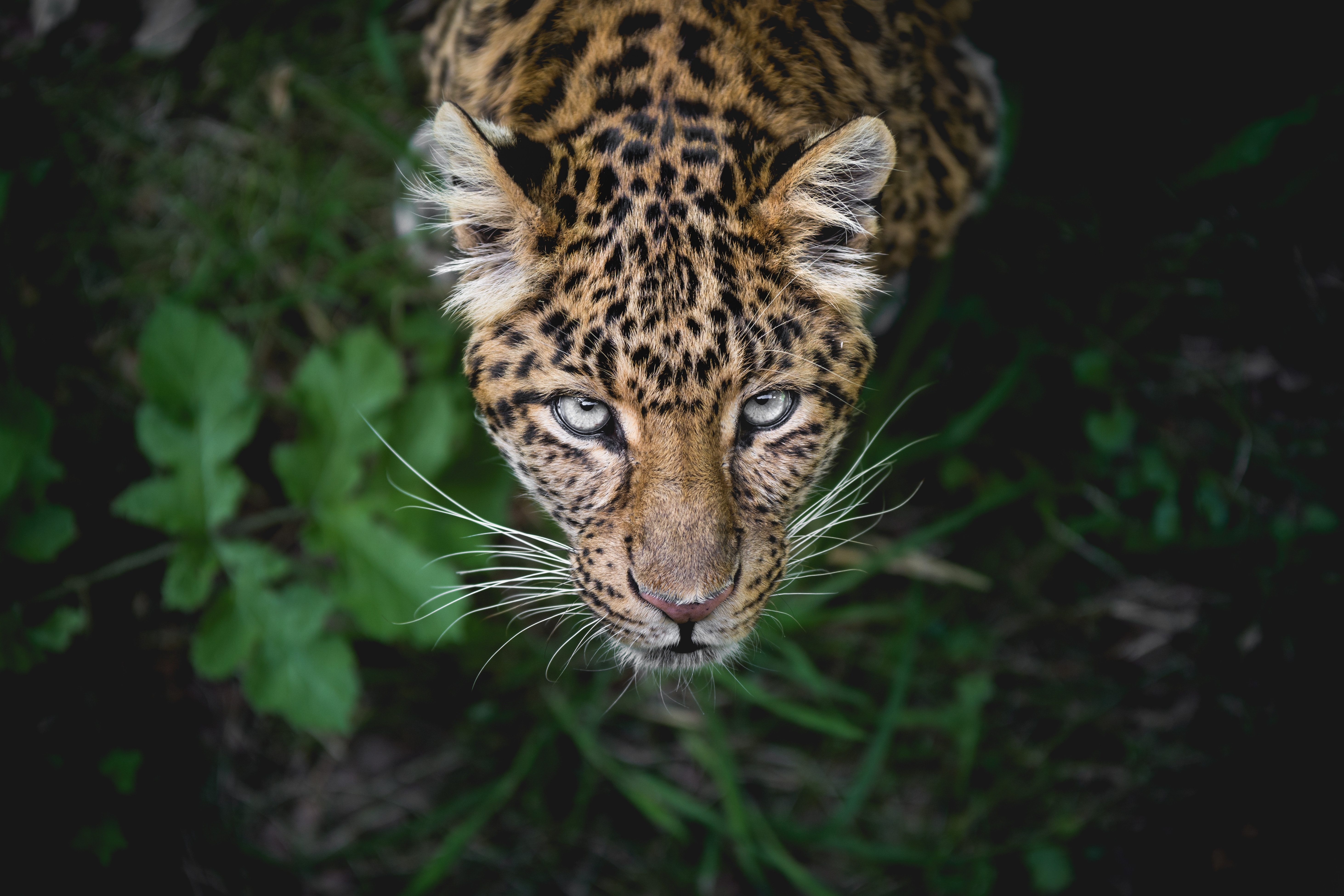 69273 download wallpaper Animals, Leopard, Muzzle, Predator, Big Cat, Sight, Opinion, Peek Out, Look Out screensavers and pictures for free