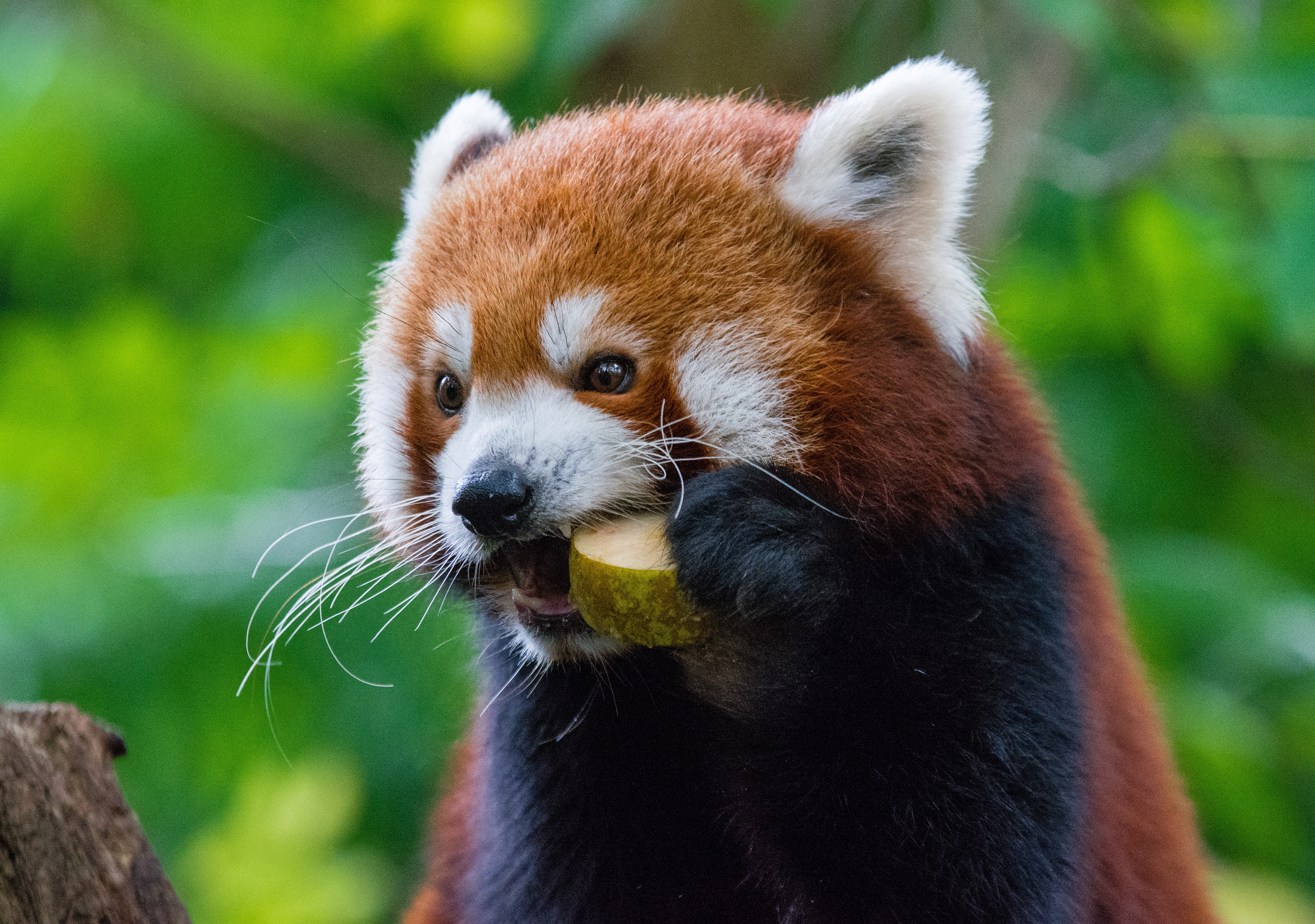 105020 download wallpaper Food, Animals, Red Panda, Fiery Panda screensavers and pictures for free