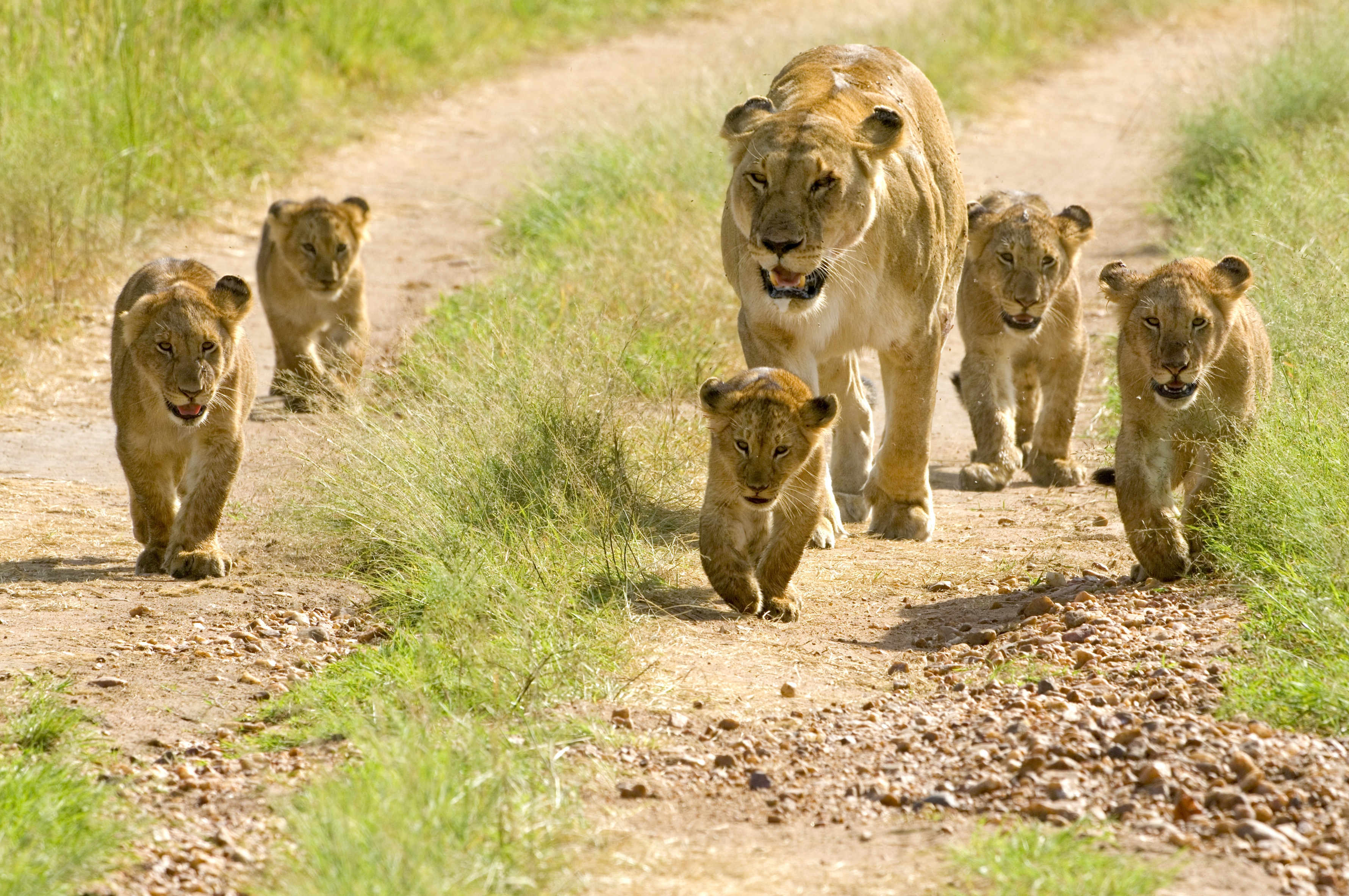72062 download wallpaper Animals, Lion Cubs, Cubs, Young, Walking, Walk, Lions screensavers and pictures for free