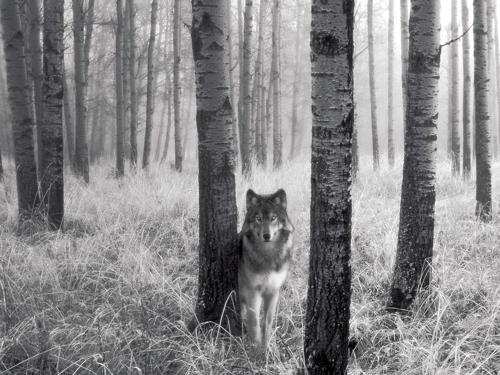 9765 download wallpaper Animals, Wolfs, Art Photo screensavers and pictures for free