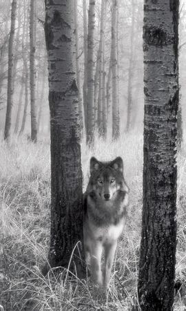 9765 скачать обои Животные, Волки, Артфото - заставки и картинки бесплатно