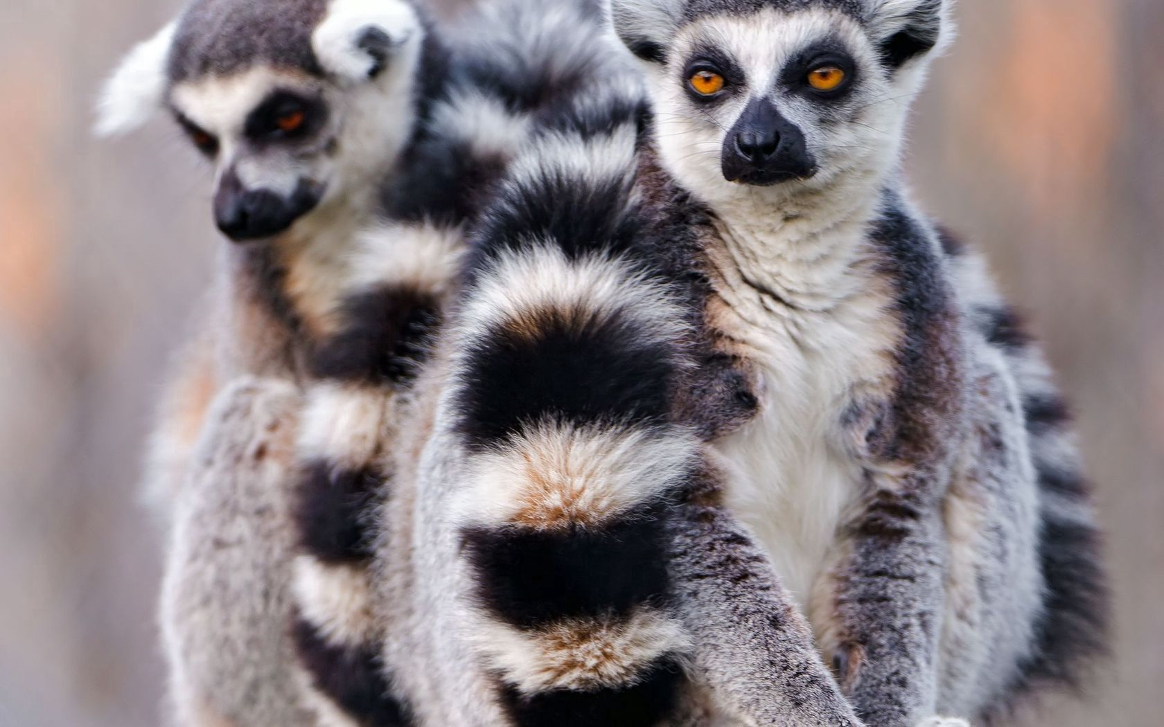 57971 Screensavers and Wallpapers Lemurs for phone. Download Animals, Lemurs, Couple, Pair, Tail, Embrace pictures for free