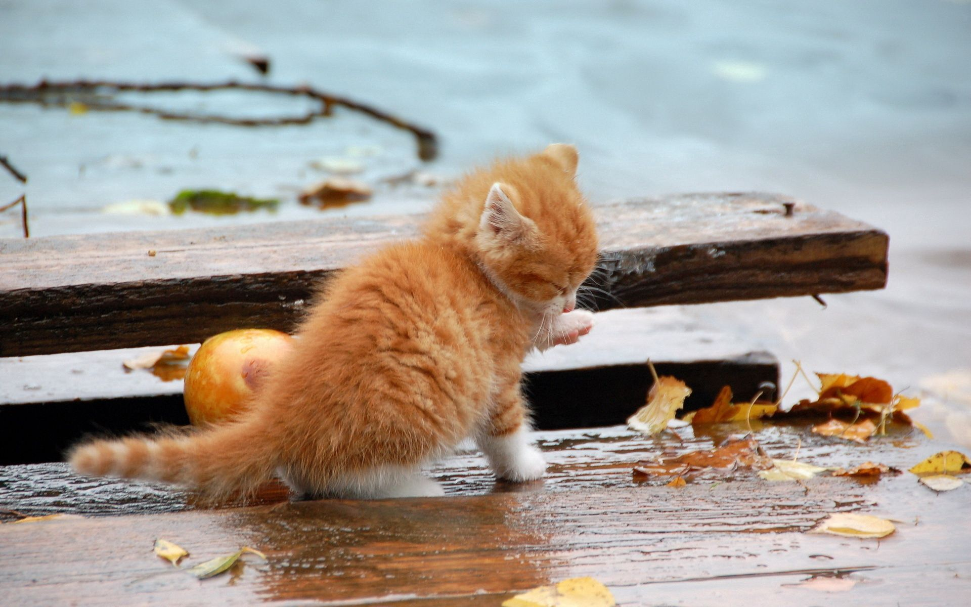 56150 download wallpaper Animals, Kitty, Kitten, Foliage, Autumn, Fallen, Paw, Wash Up, Wash screensavers and pictures for free