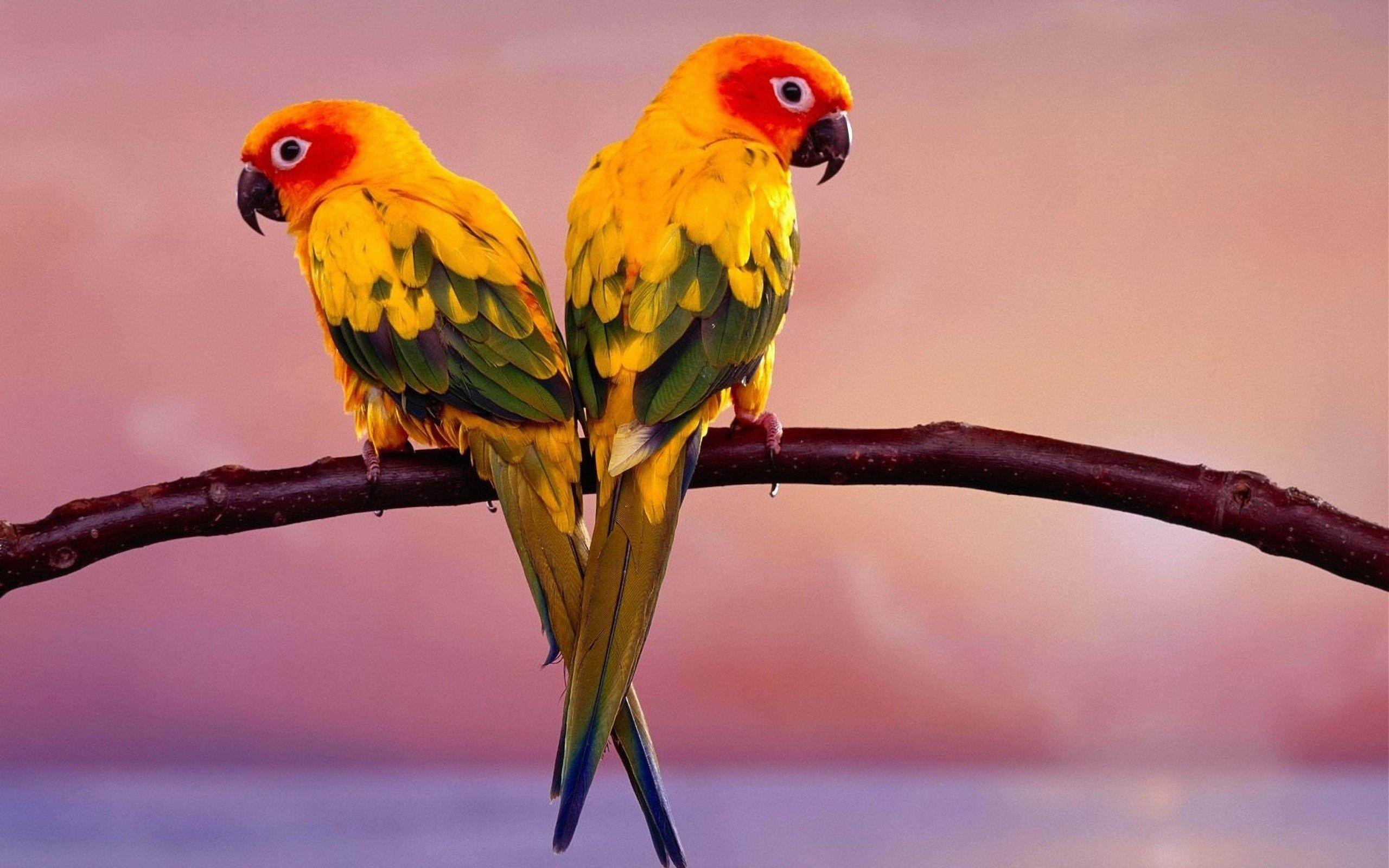 157172 Заставки и Обои Попугаи на телефон. Скачать Попугаи, Животные, Птицы, Пара, Ветка картинки бесплатно