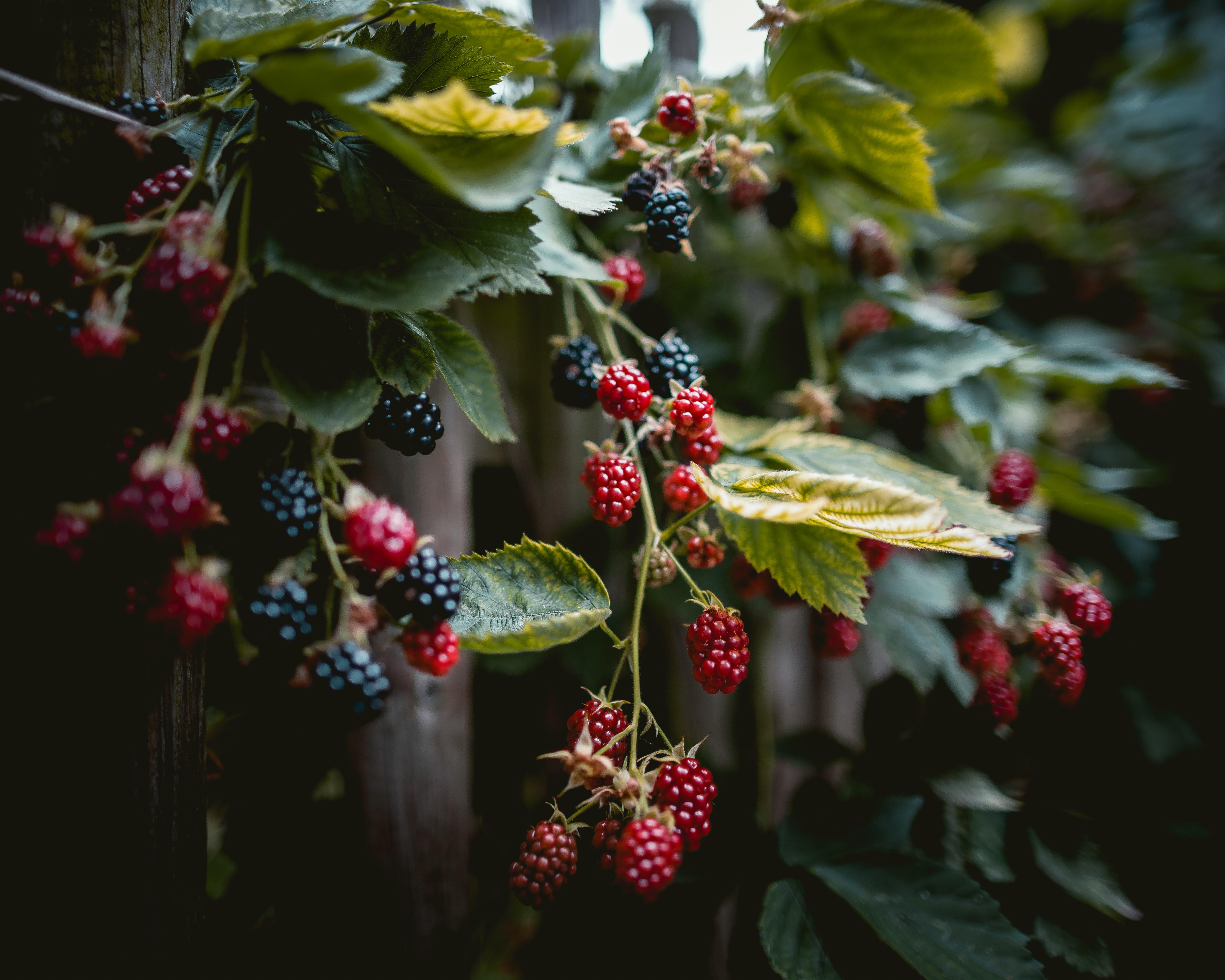 Download free Berries HD pictures