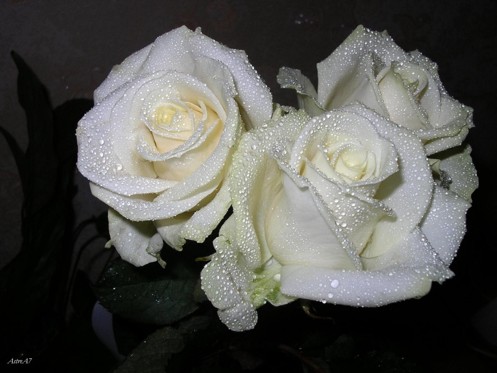 3344 завантажити шпалери Рослини, Рози, Квіти - заставки і картинки безкоштовно