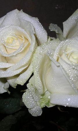 3344 скачать обои Растения, Цветы, Розы - заставки и картинки бесплатно