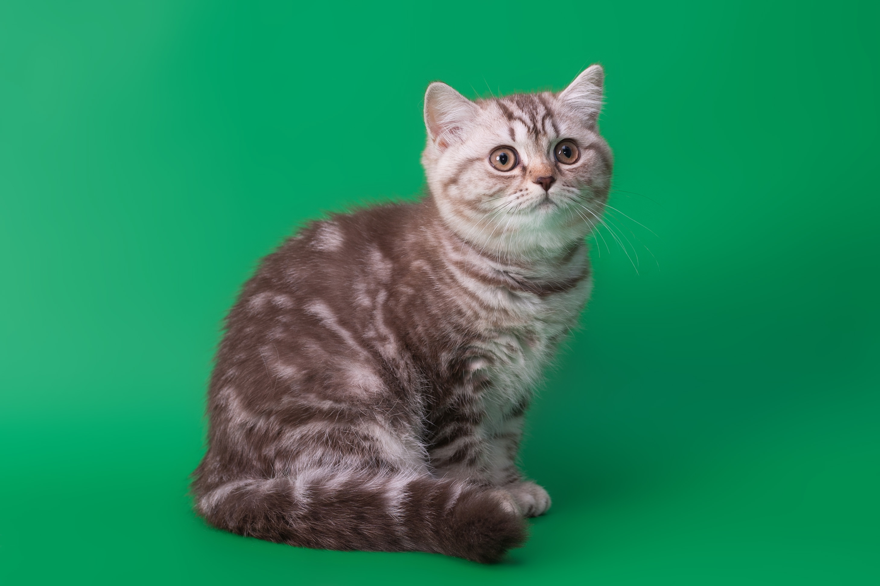 55959 Screensavers and Wallpapers Sit for phone. Download Animals, Background, Sit, Cat, Striped pictures for free