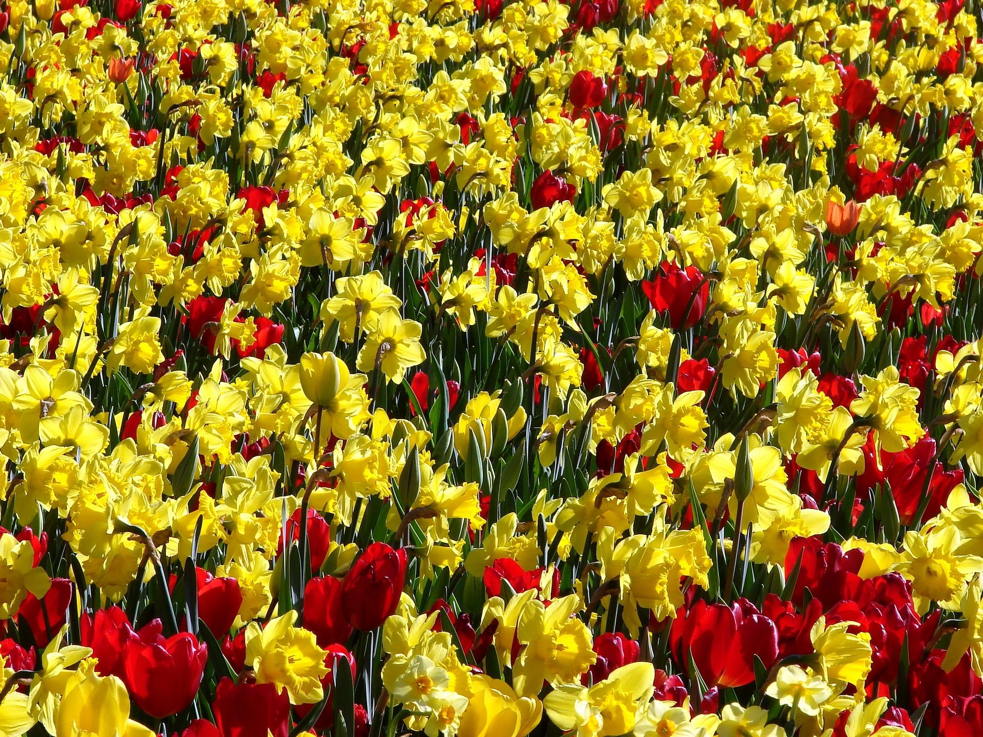 88889 Заставки и Обои Нарциссы на телефон. Скачать Цветы, Тюльпаны, Нарциссы, Позитив, Ярко, Солнечно картинки бесплатно