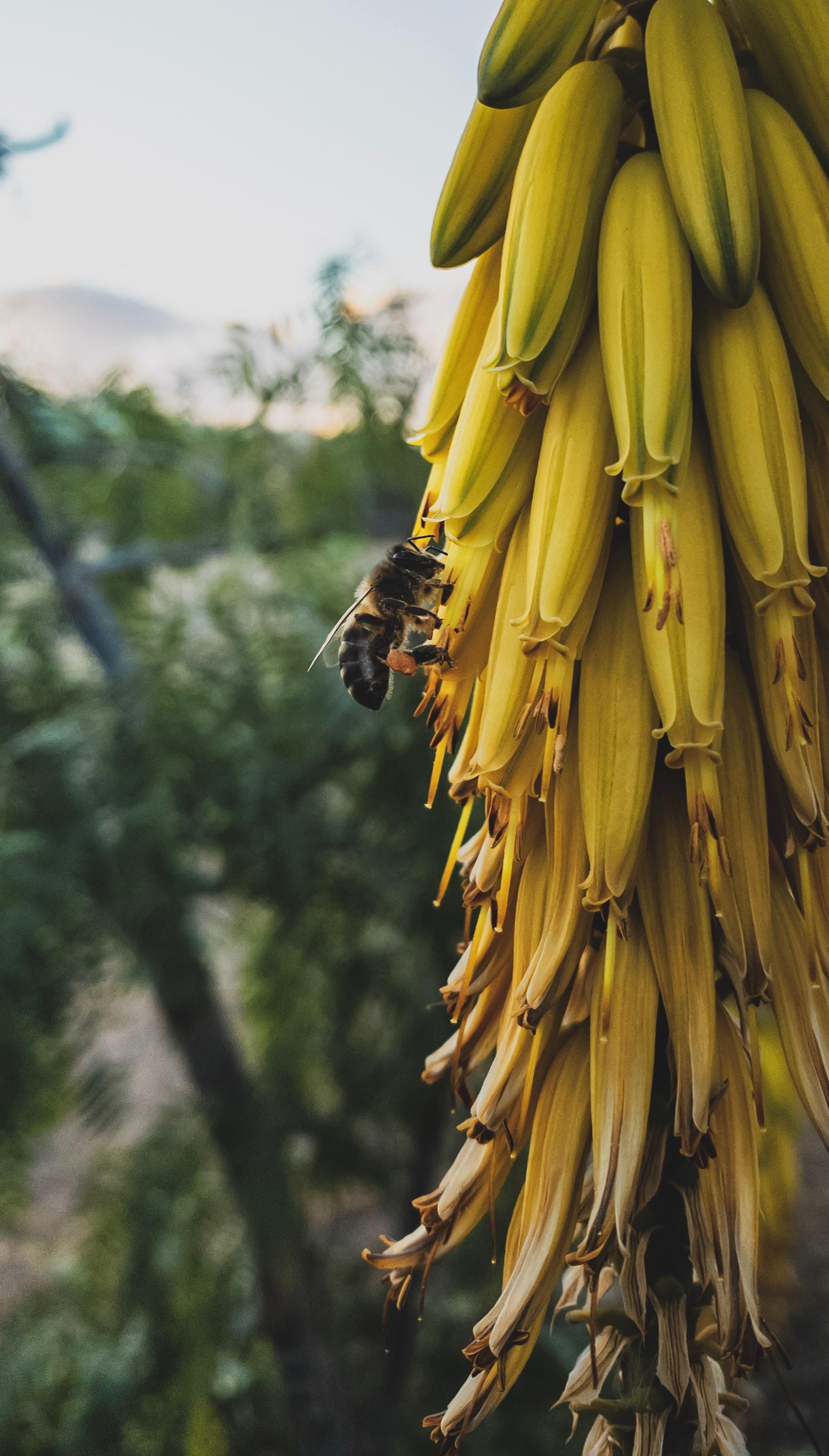 手機的114226屏保和壁紙昆虫。 免費下載 宏, 花序, 蜜蜂, 昆虫, 黄色的, 花卉 圖片