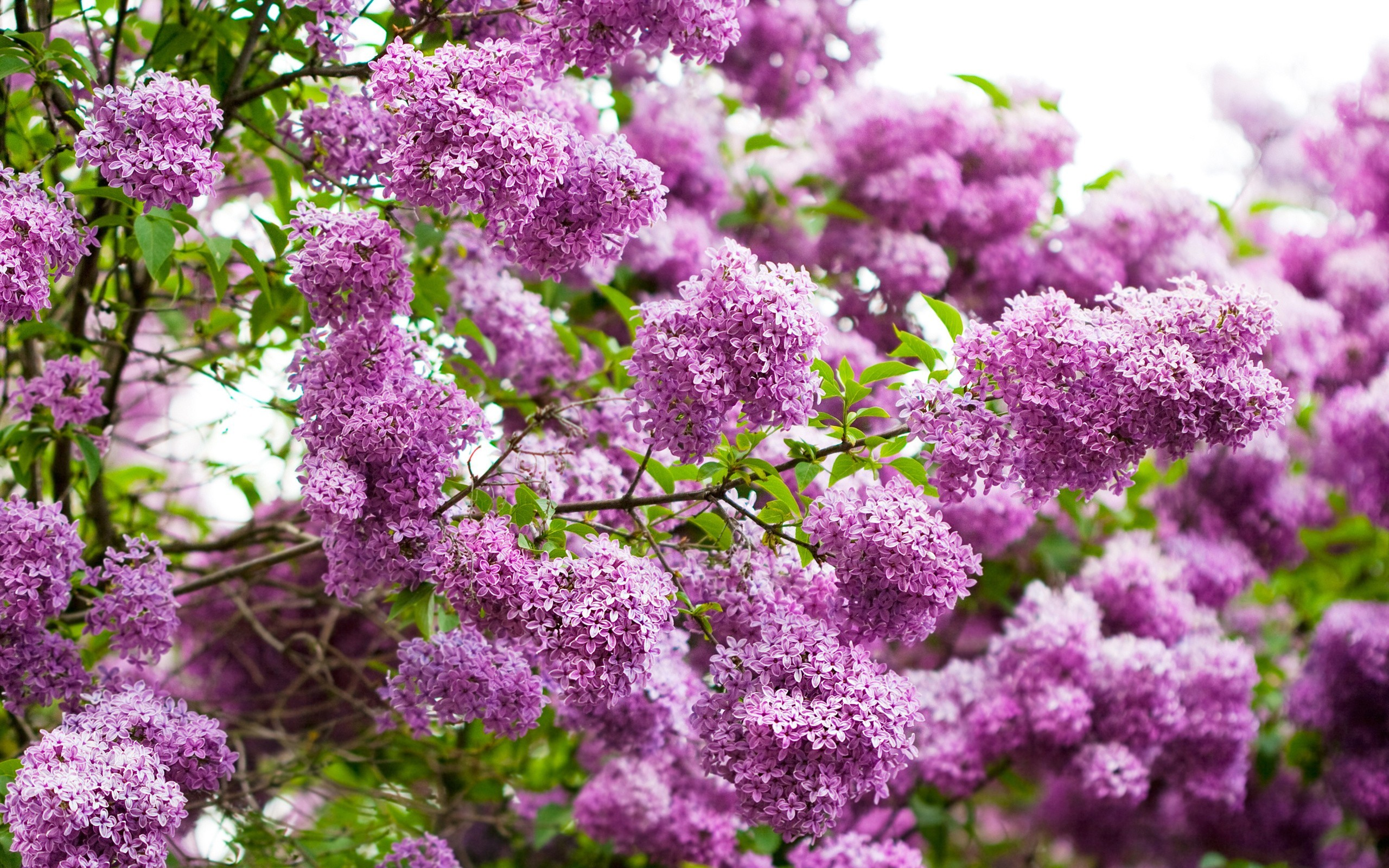 28608 скачать обои Растения, Цветы, Сирень - заставки и картинки бесплатно