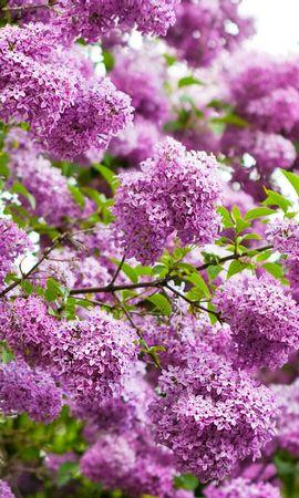 28608 скачать Фиолетовые обои на телефон бесплатно, Растения, Цветы, Сирень Фиолетовые картинки и заставки на мобильный