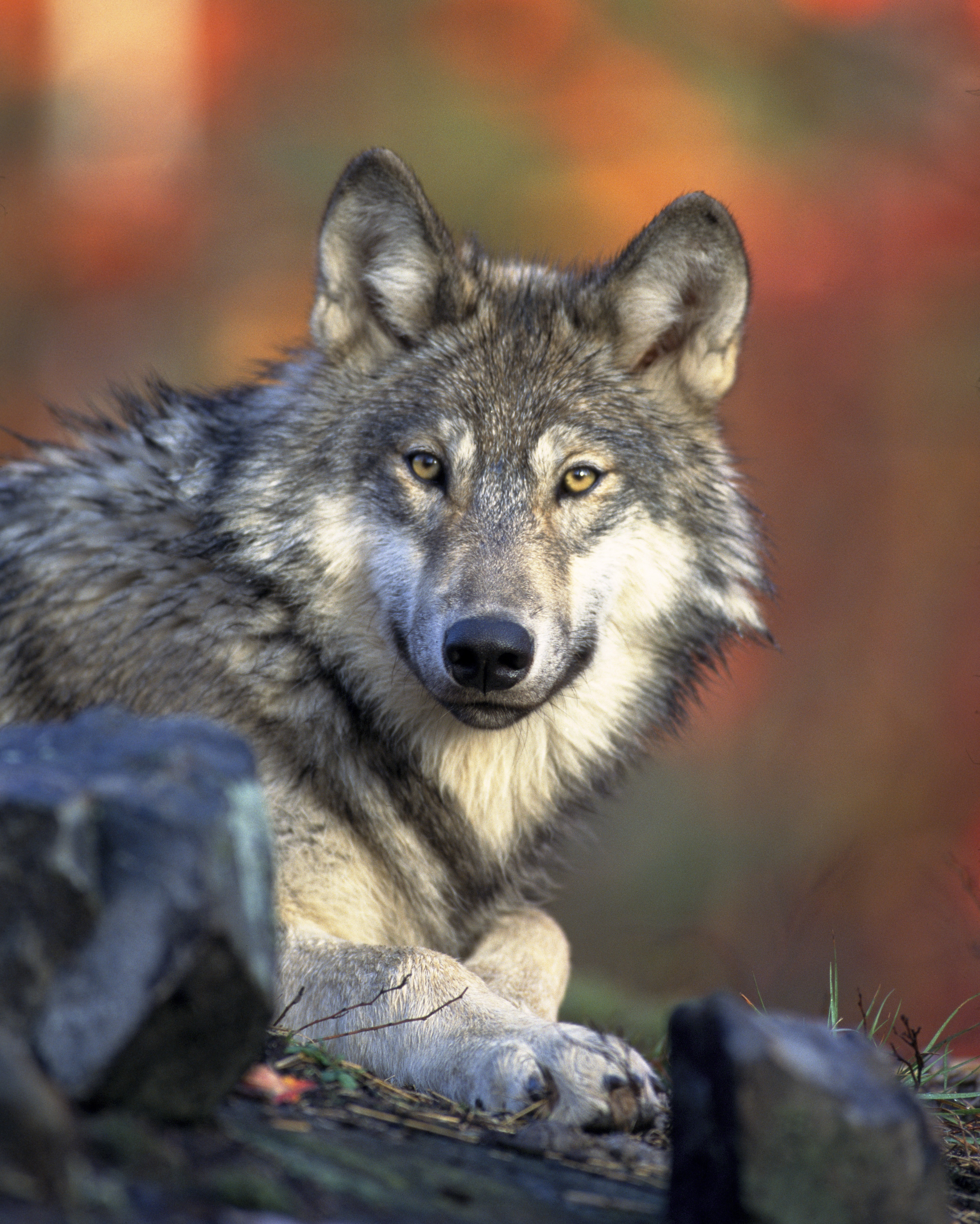 86552 Hintergrundbild 720x1280 kostenlos auf deinem Handy, lade Bilder Tiere, Hund, Schnauze, Raubtier, Predator, Wolf, Sicht, Meinung 720x1280 auf dein Handy herunter