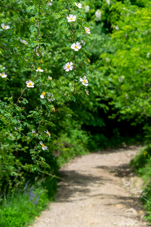 113304 скачать обои Цветы, Шиповник, Куст, Цветение, Растение - заставки и картинки бесплатно
