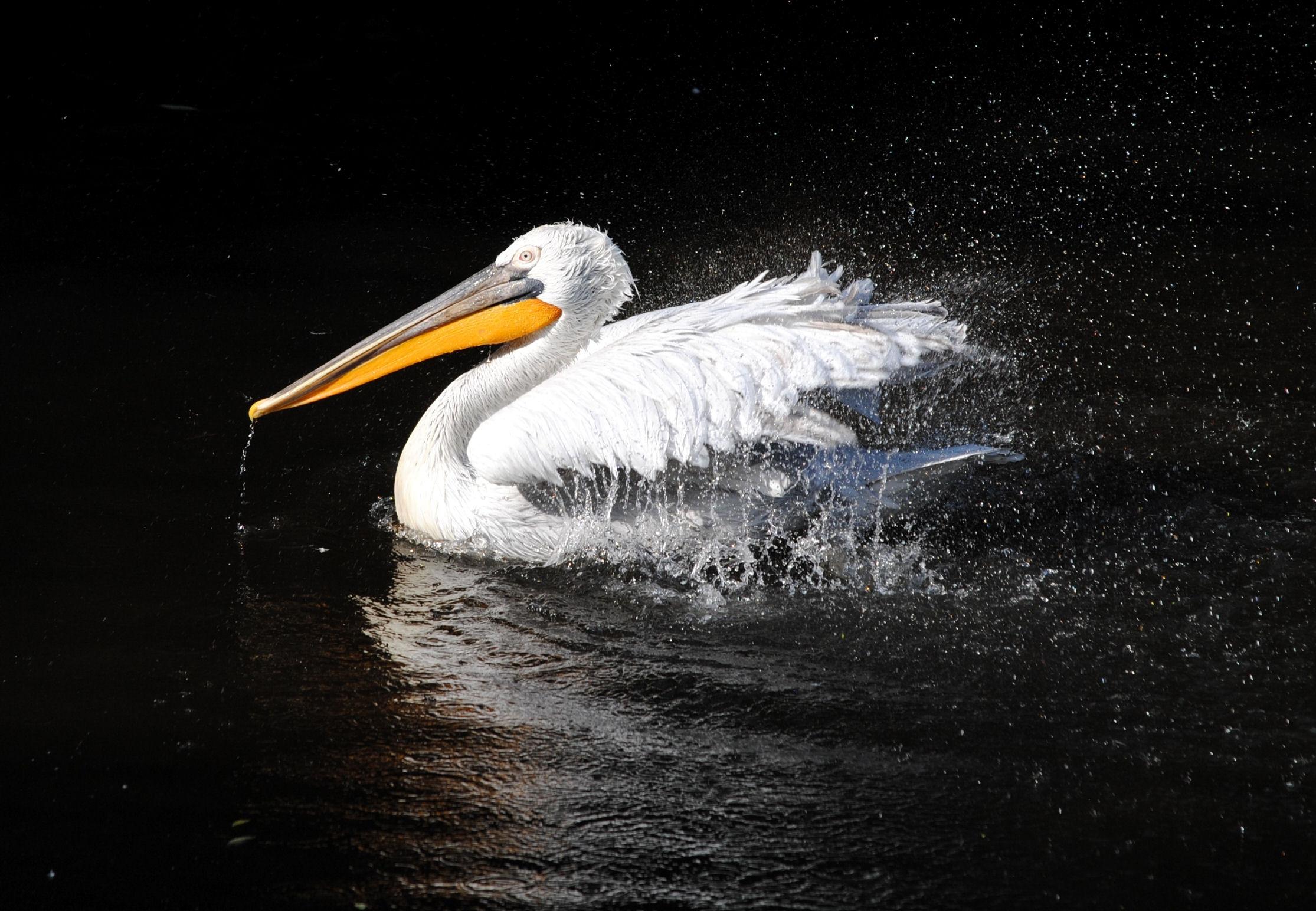 91369 download wallpaper Animals, Pelican, Bird, To Swim, Swim, Black Background, Beak, Spray screensavers and pictures for free
