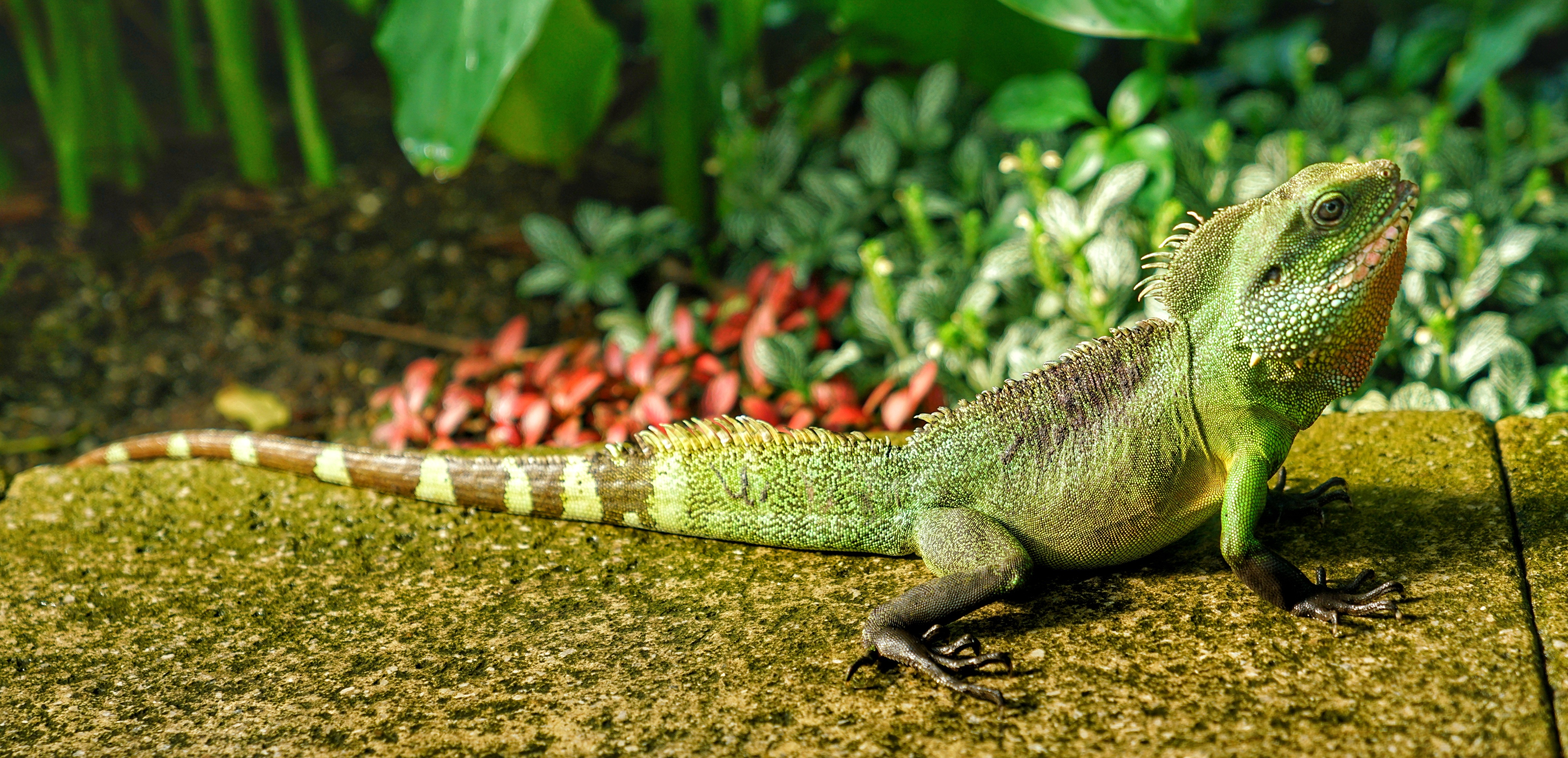 140644 download wallpaper Animals, Lizard, Reptile, Color screensavers and pictures for free
