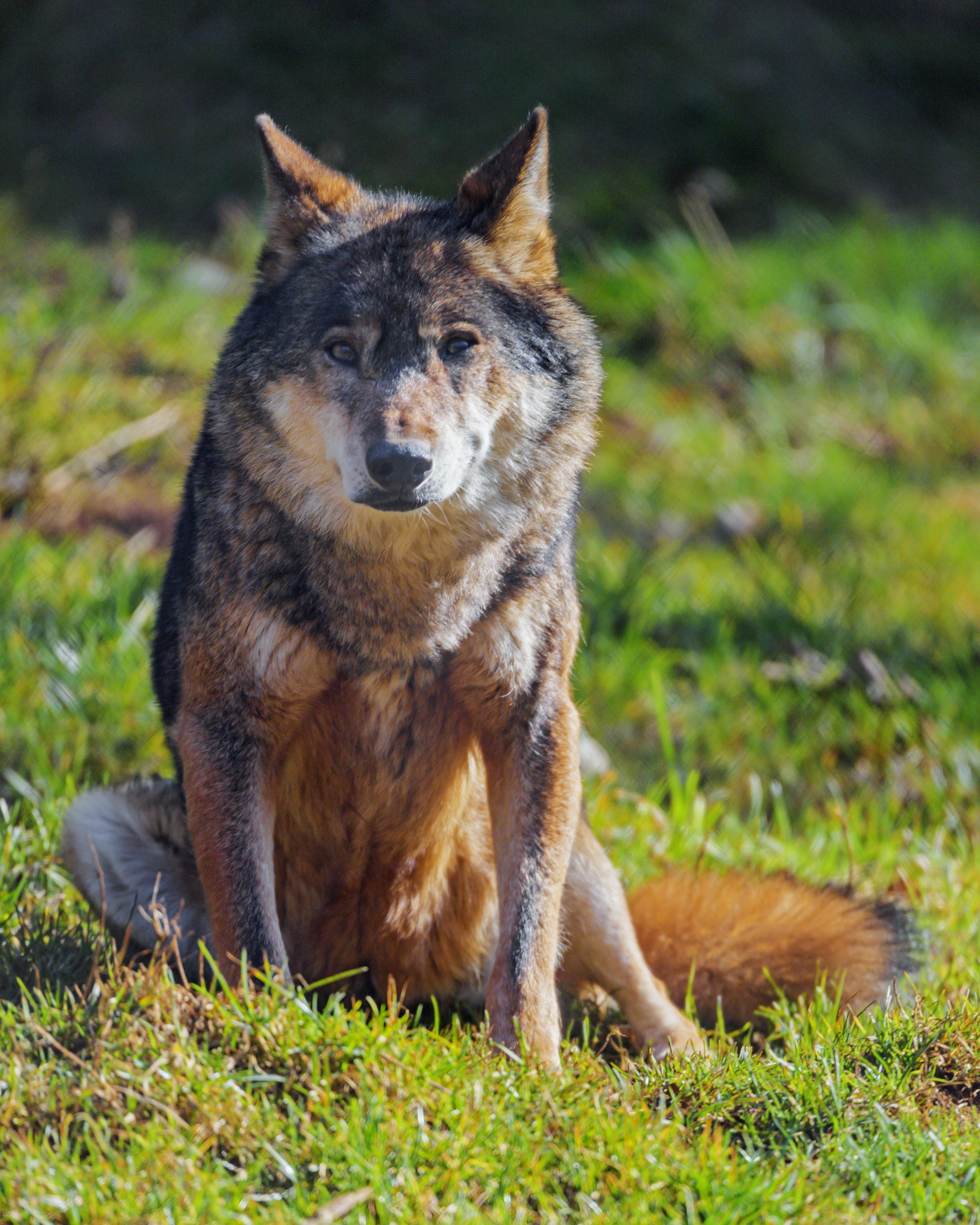 59403 скачать обои Животные, Волк, Животное, Хищник, Дикая Природа - заставки и картинки бесплатно