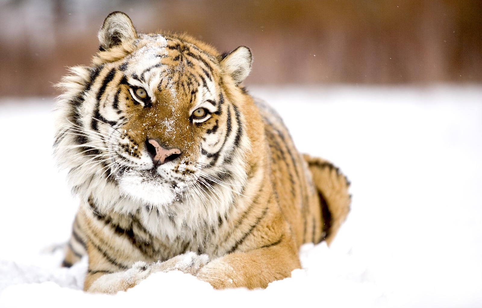 3471 download wallpaper Animals, Tigers screensavers and pictures for free