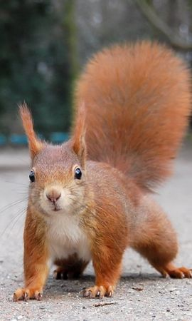 5270 download wallpaper Animals, Squirrel, Rodents screensavers and pictures for free