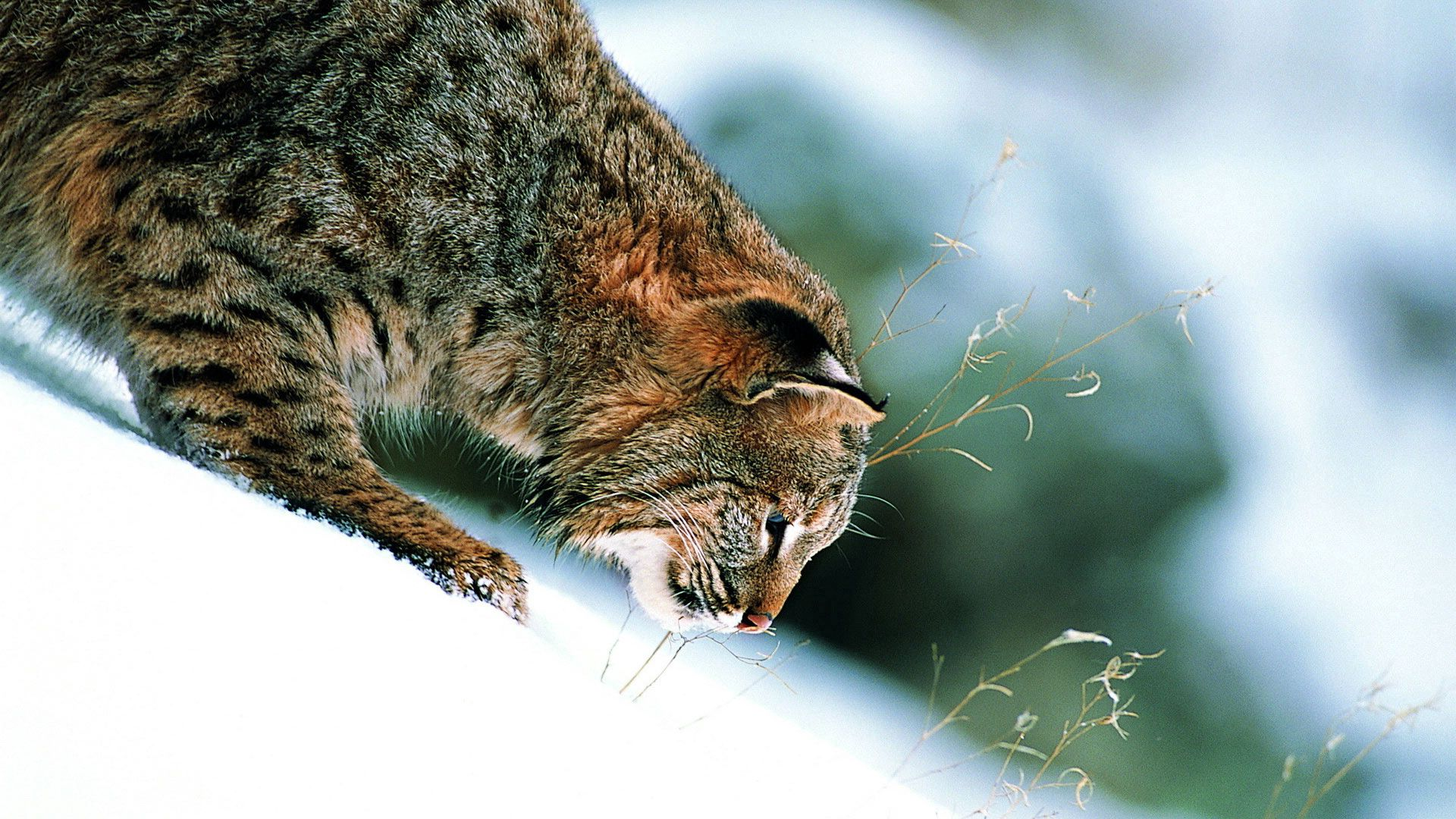 62765 download wallpaper Animals, Winter, Grass, Snow, Iris, Slope screensavers and pictures for free