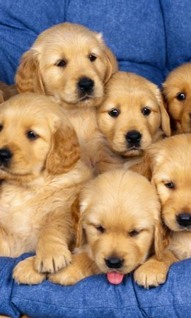 12699 download wallpaper Animals, Dogs screensavers and pictures for free