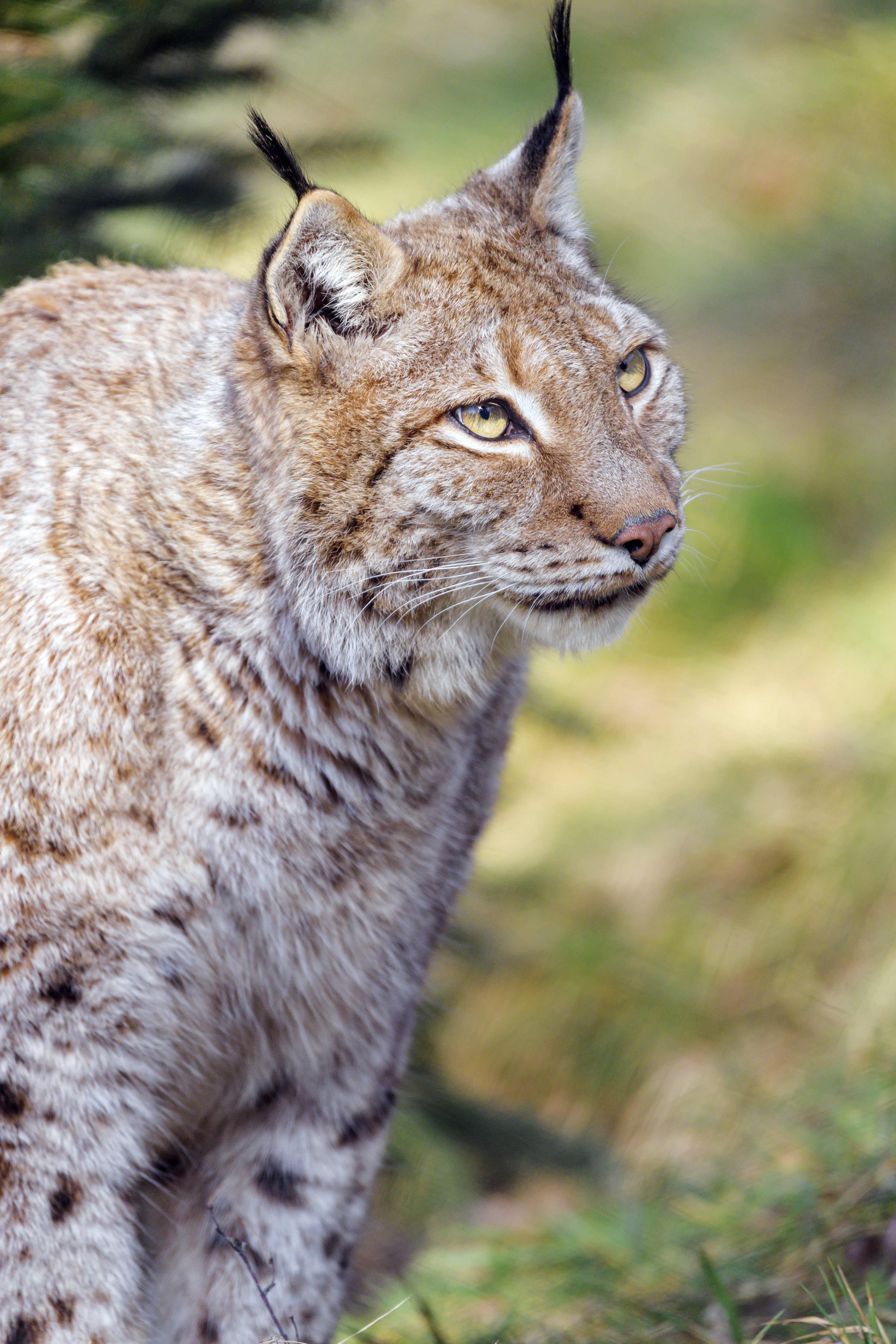 110819 download wallpaper Animals, Iris, Animal, Predator, Sight, Opinion, Big Cat screensavers and pictures for free