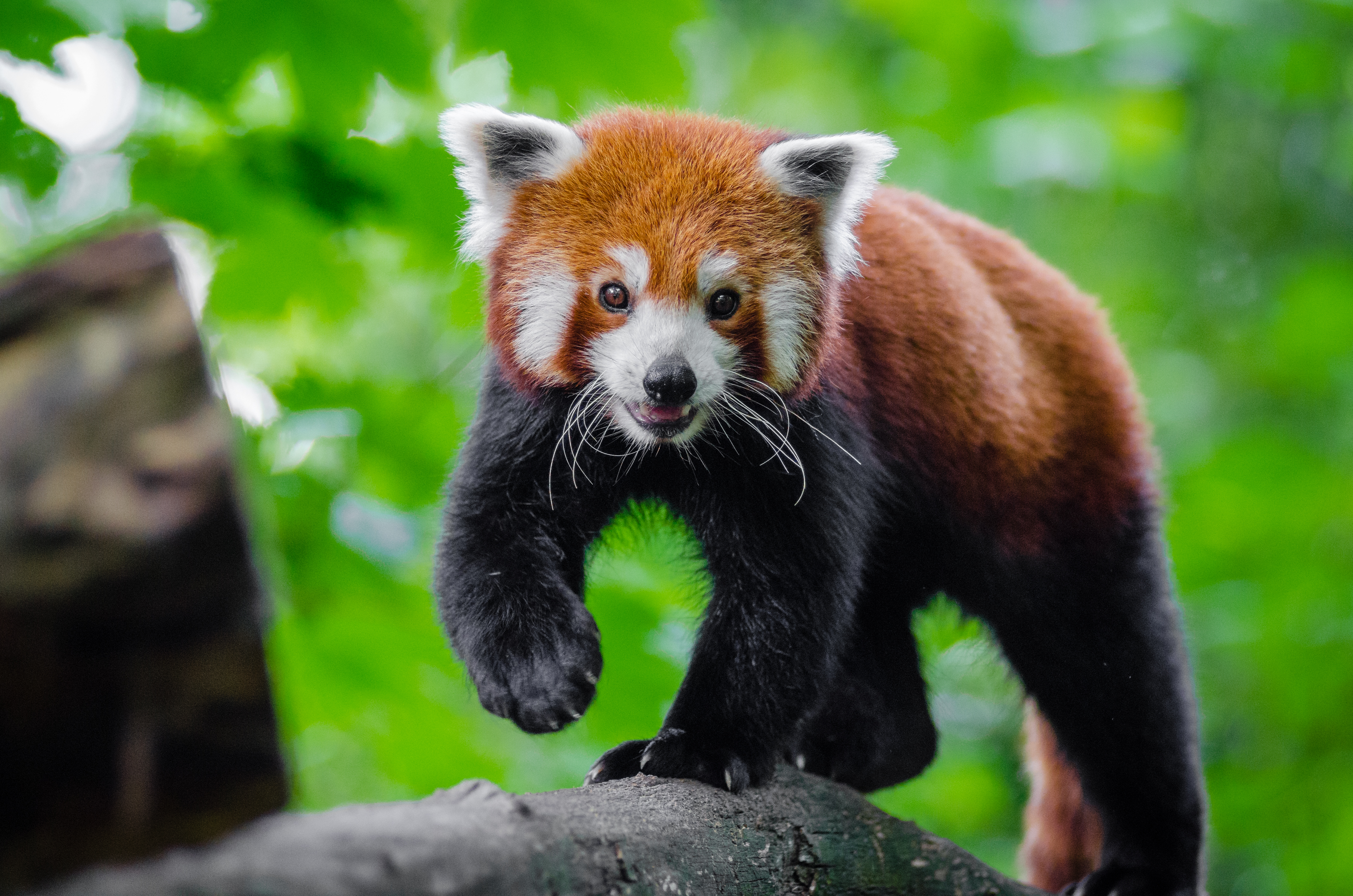 81349 download wallpaper Animals, Little Panda, Small Panda, Red Panda, Nice, Sweetheart screensavers and pictures for free
