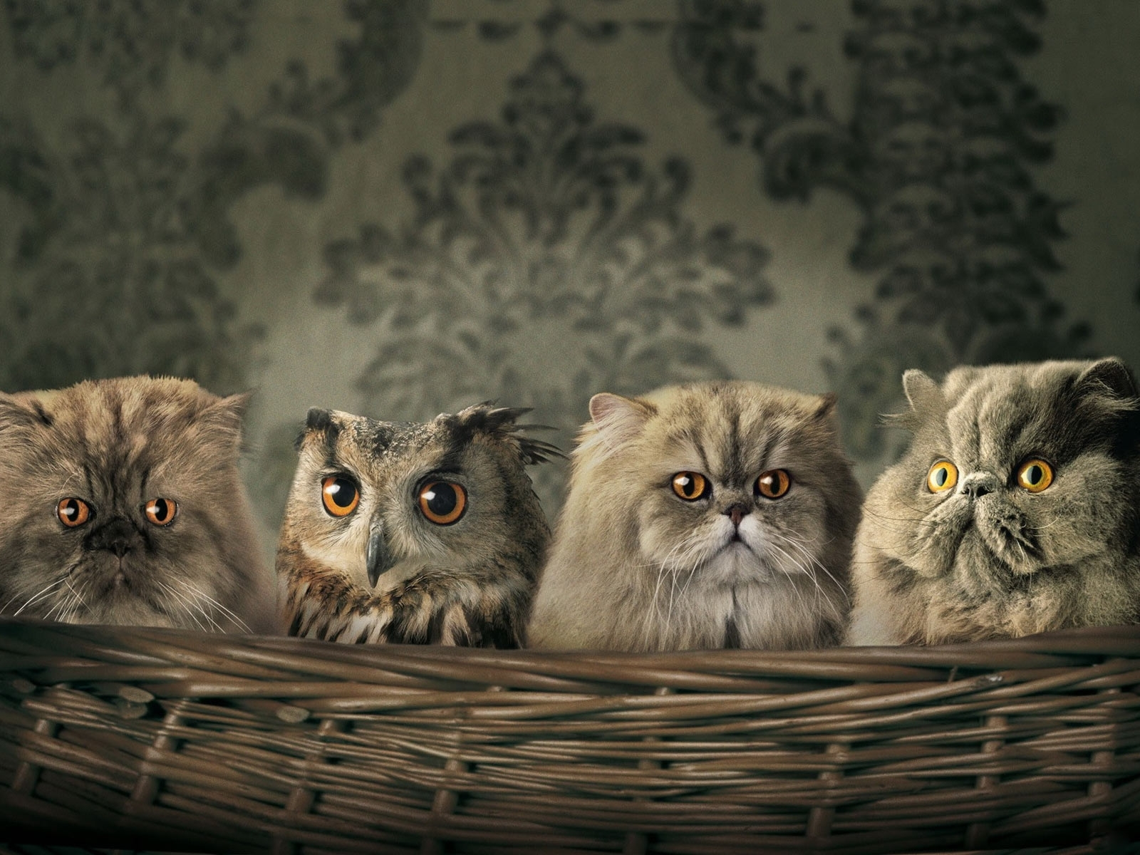 424 download wallpaper Funny, Animals, Cats, Owl screensavers and pictures for free