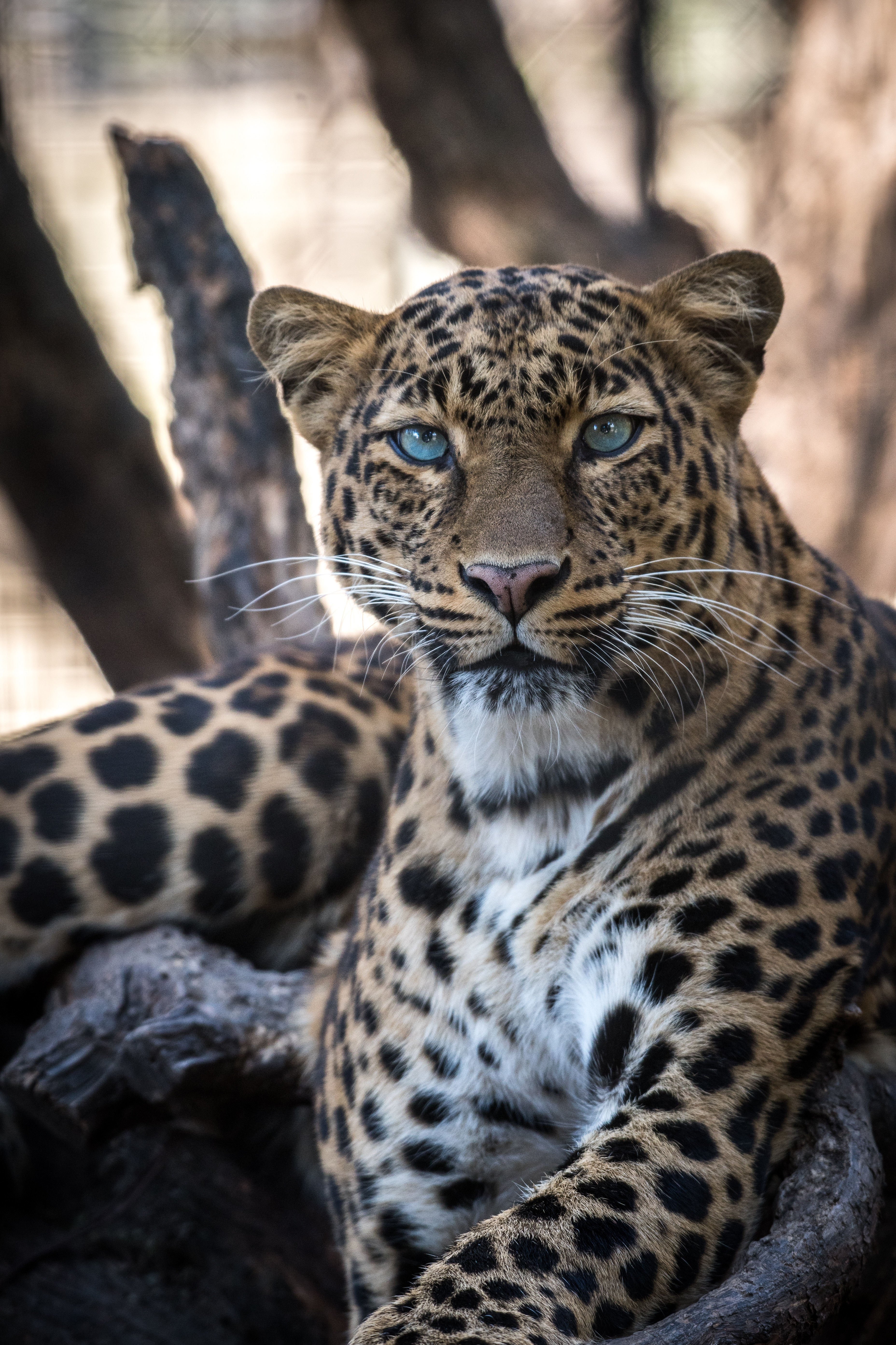 68412 download wallpaper Animals, Leopard, Predator, Big Cat, Sight, Opinion screensavers and pictures for free