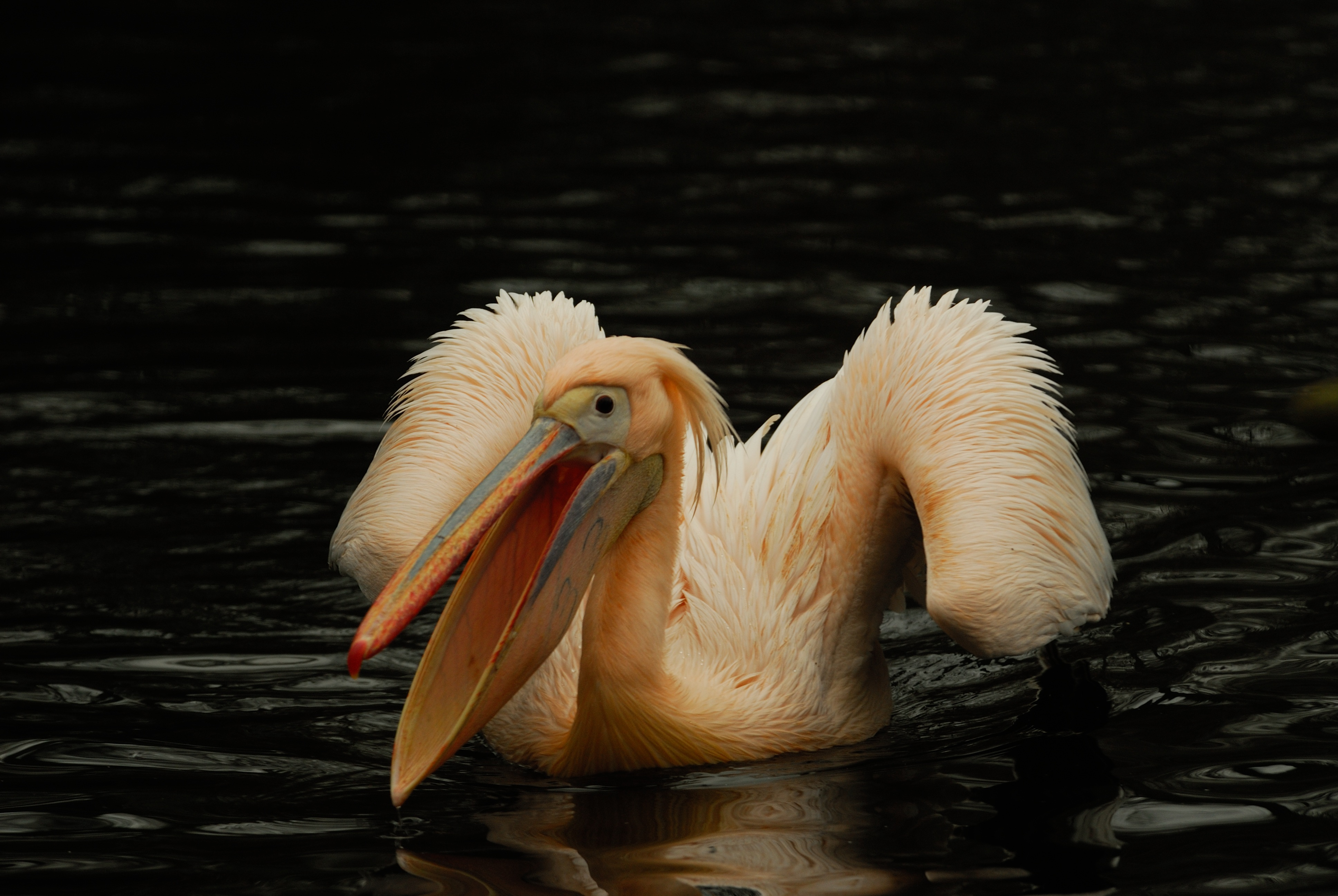 151056 download wallpaper Animals, Pelican, Pink, Bird, Water screensavers and pictures for free